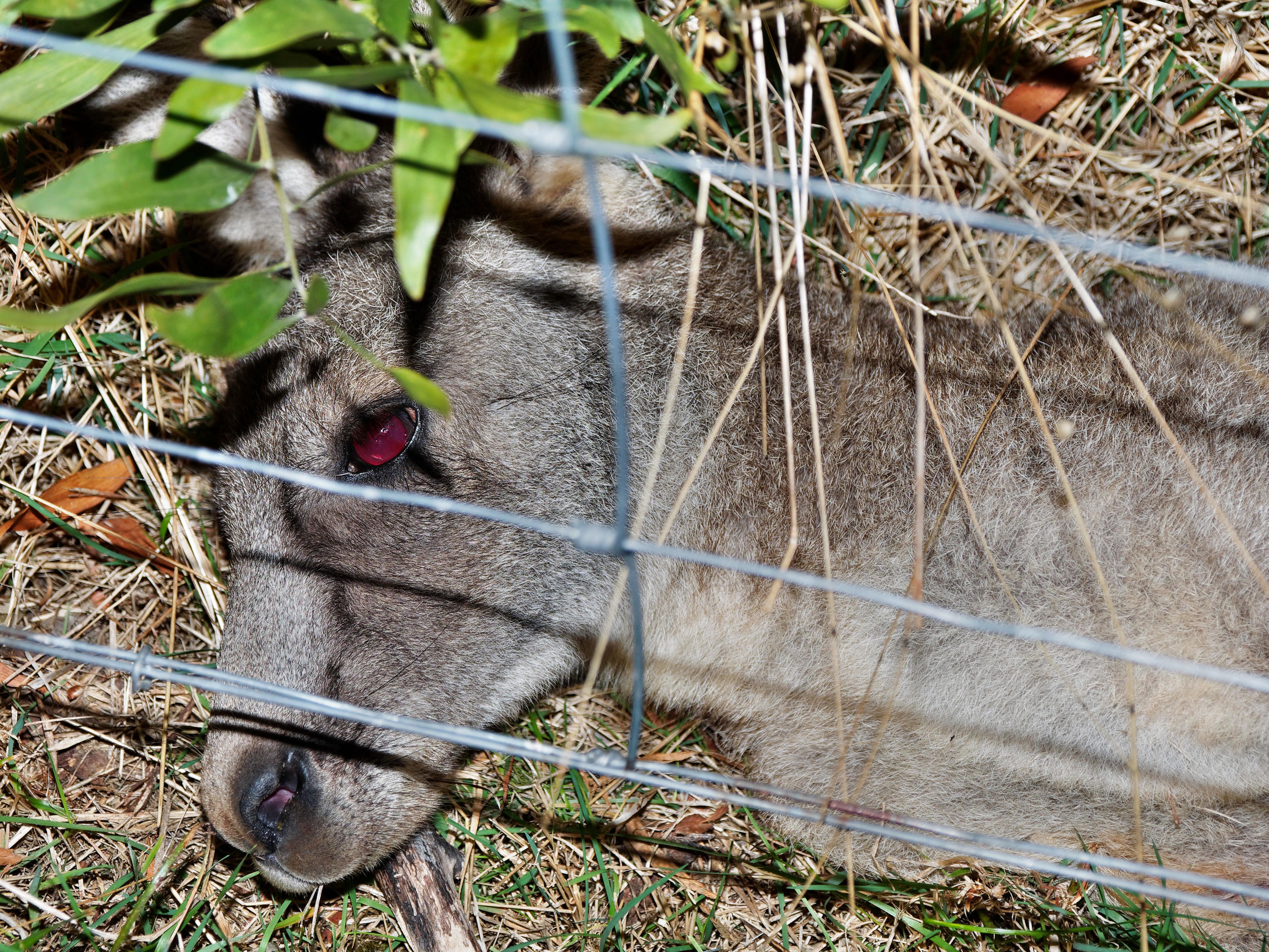 Kangaroo-5.jpeg