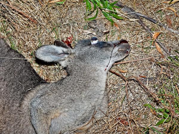 Kangaroo-12.jpeg