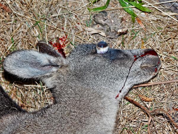 Kangaroo-13.jpeg