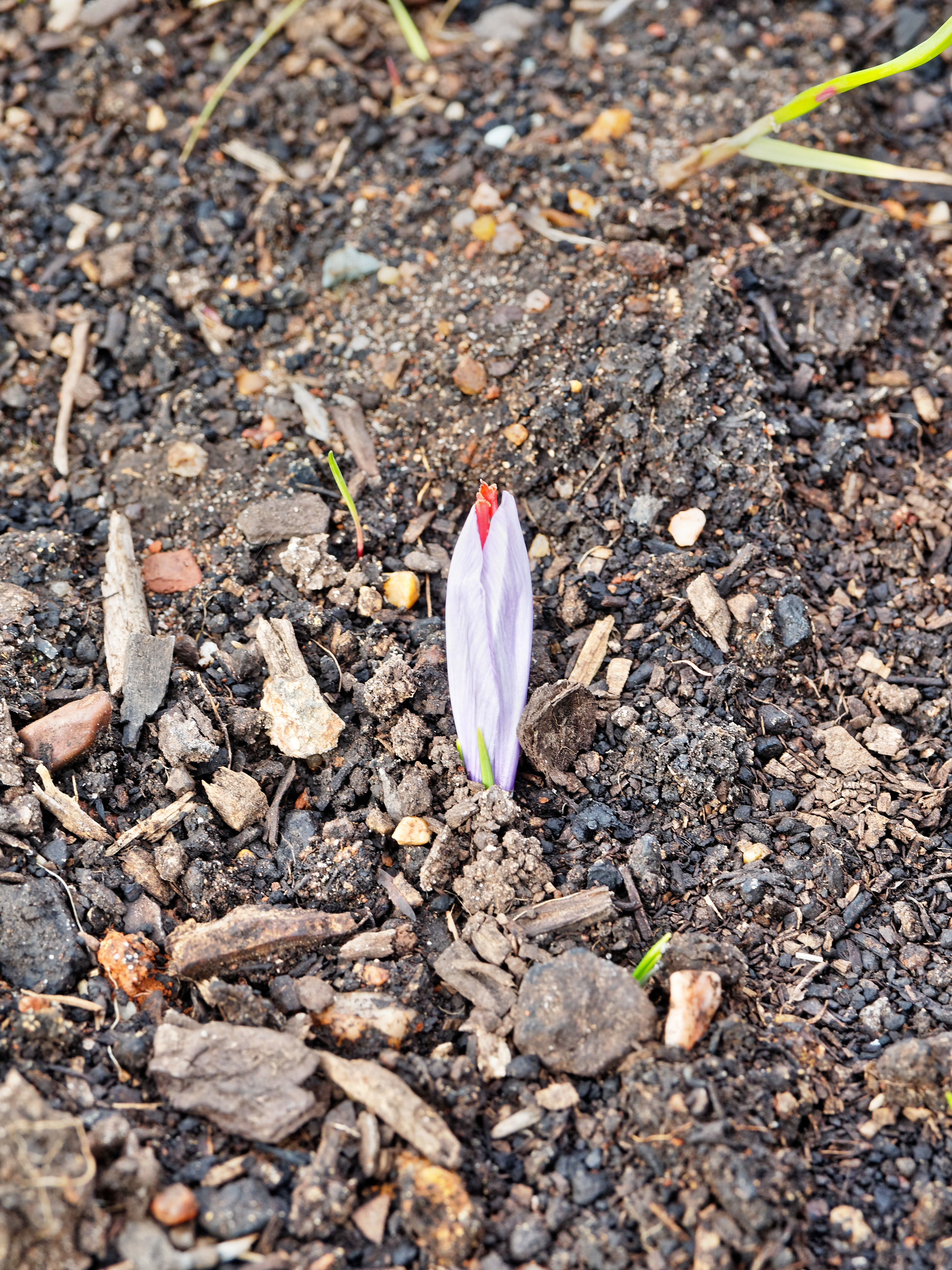 This should be Crocus-sativus.jpeg.  Is it missing?