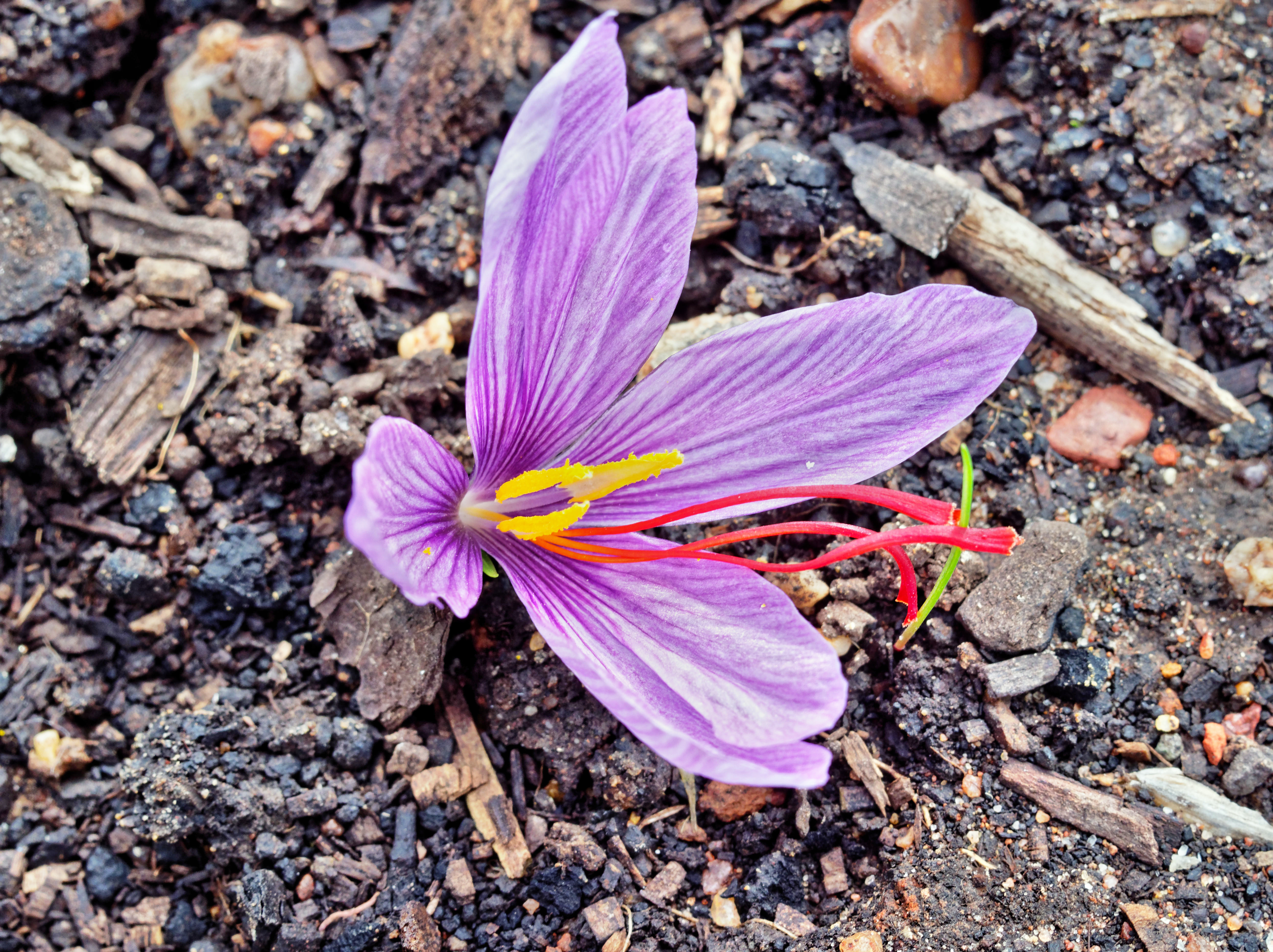 Crocus-sativus-2.jpeg