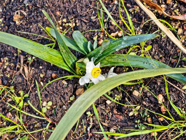 Daffodil-1.jpeg