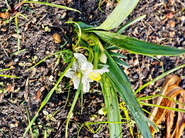 Daffodil-2.jpeg