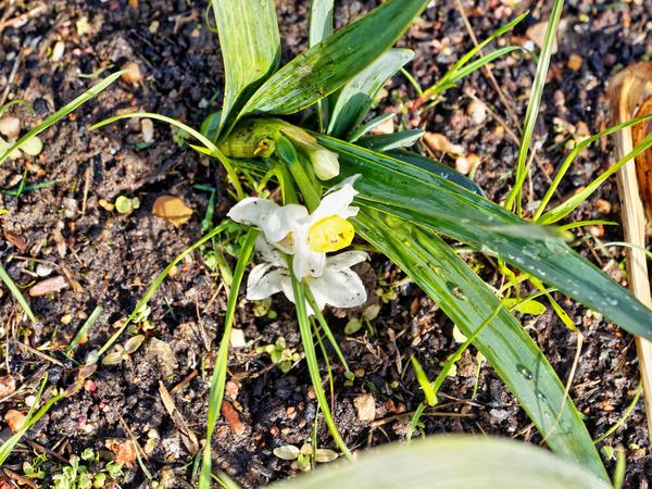 Daffodil-3.jpeg