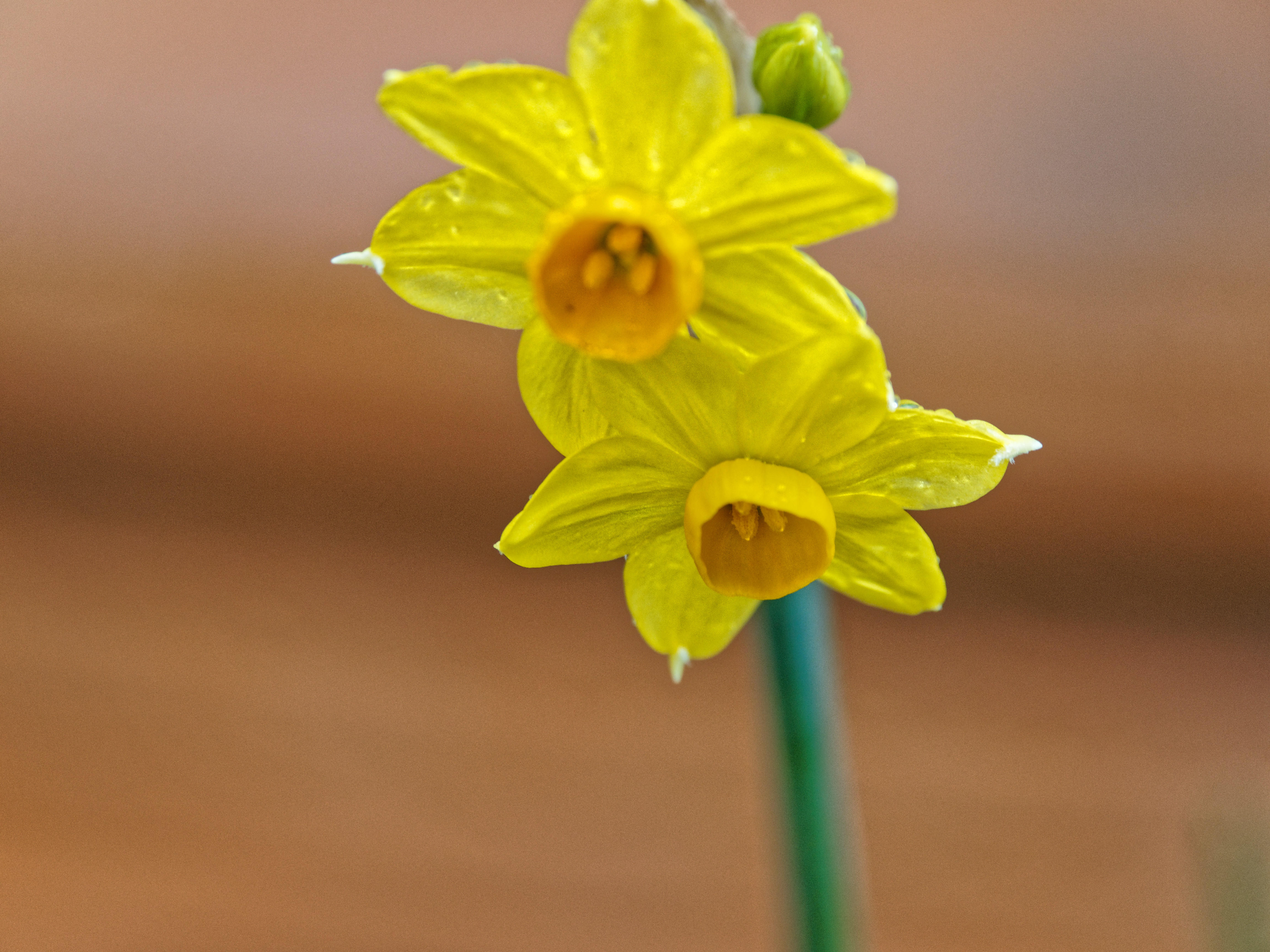 This should be Daffodil-2.jpeg.  Is it missing?