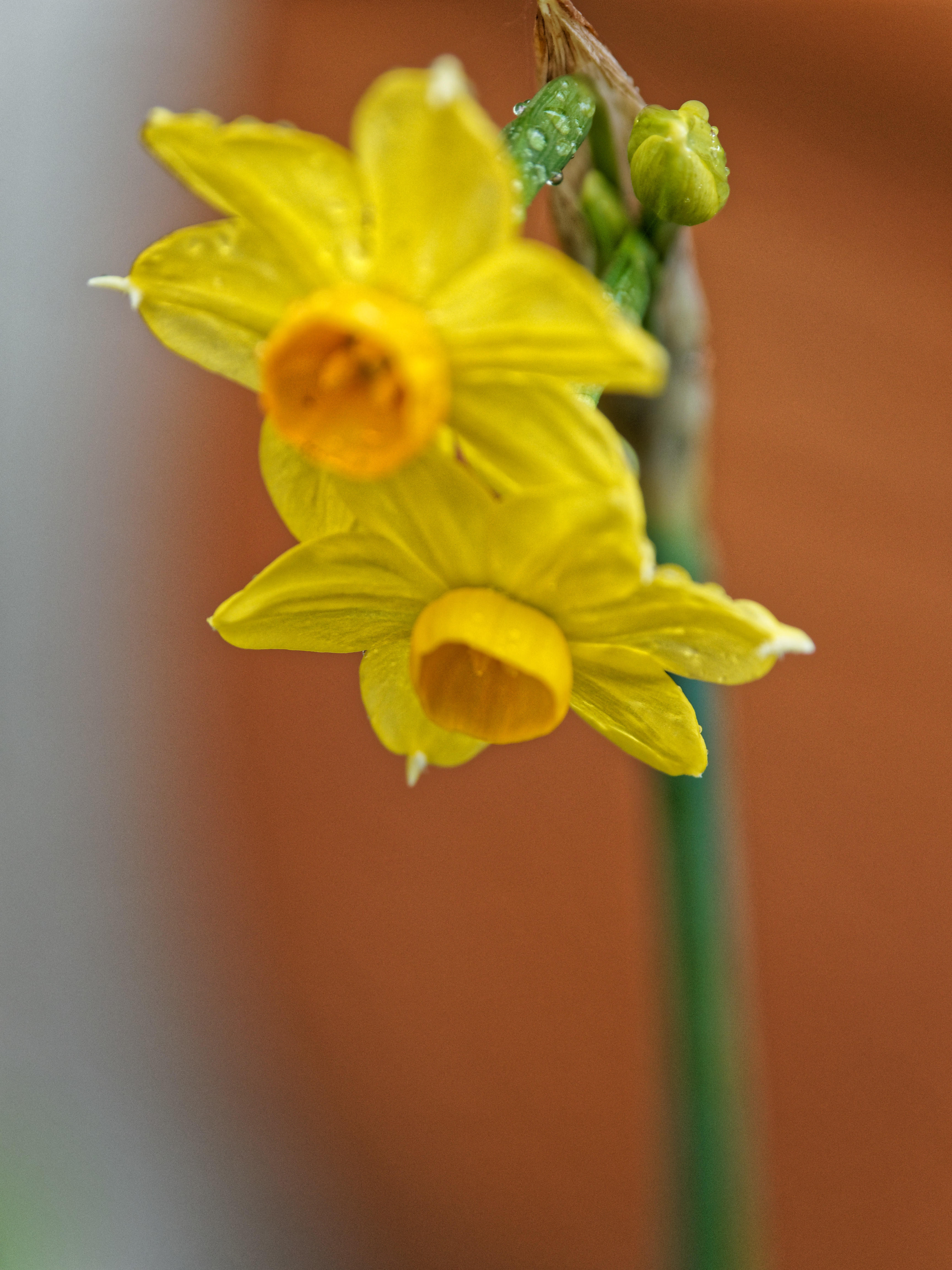 This should be Daffodil-3.jpeg.  Is it missing?