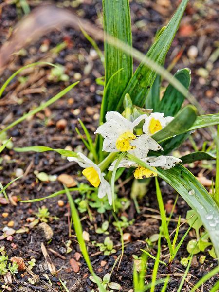 Daffodil-4.jpeg