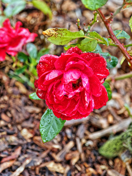 Rose-6.jpeg