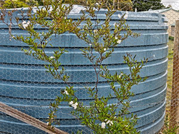 Solanum-laxum-1.jpeg