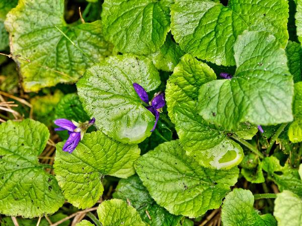 Violets-2.jpeg