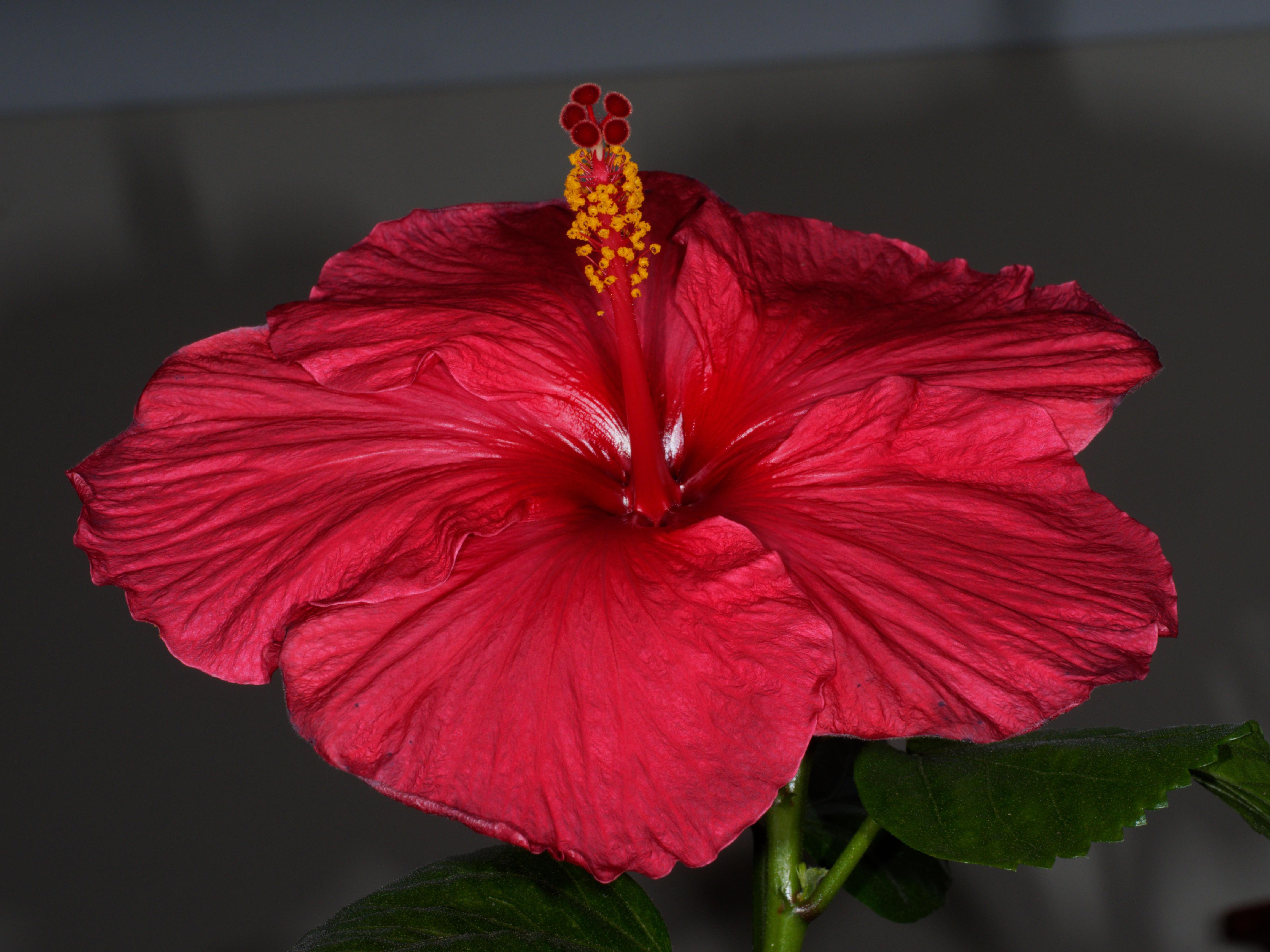 Hibiscus-STF-8-1.jpeg