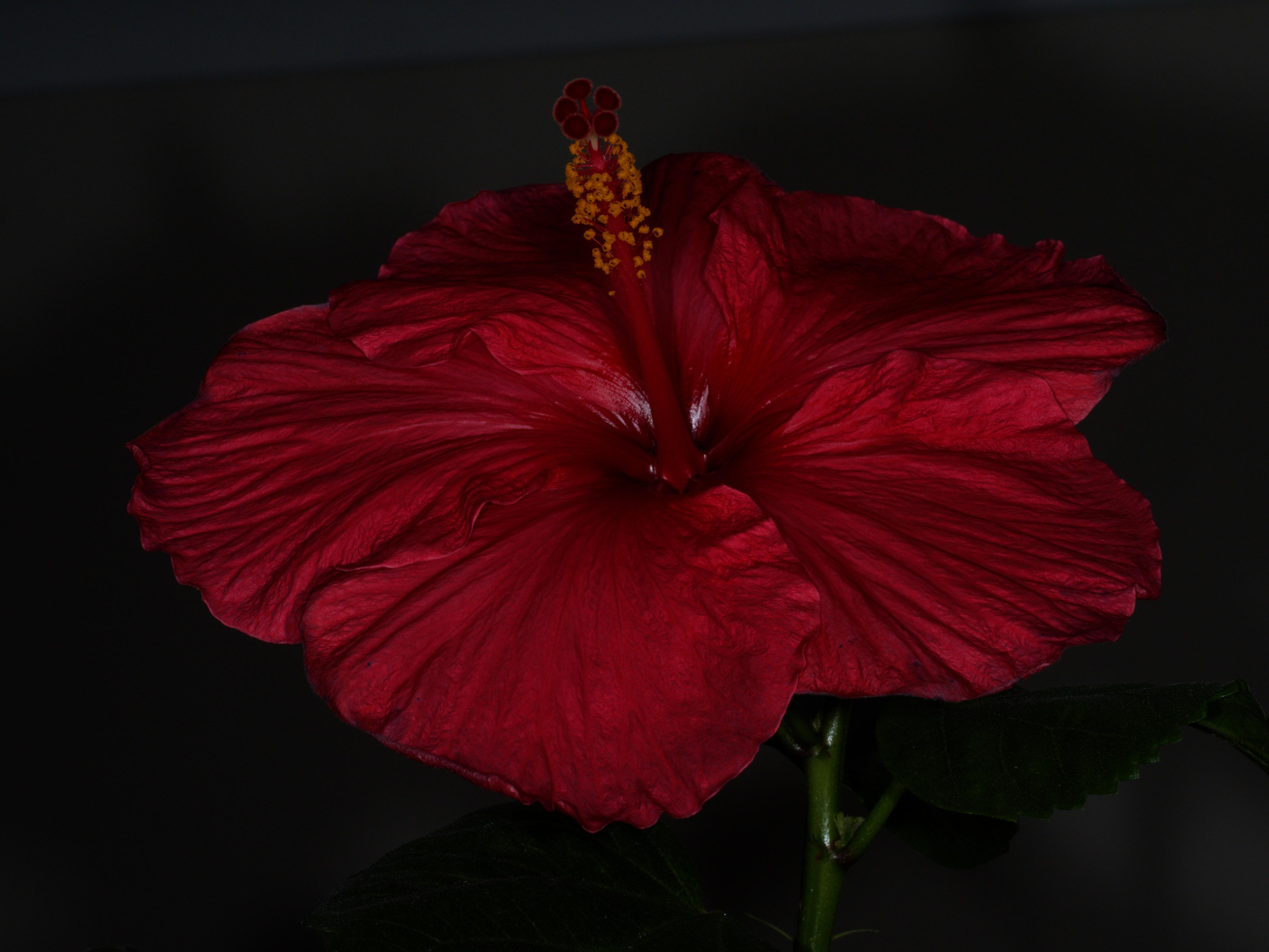 Hibiscus-STF-8-2.jpeg