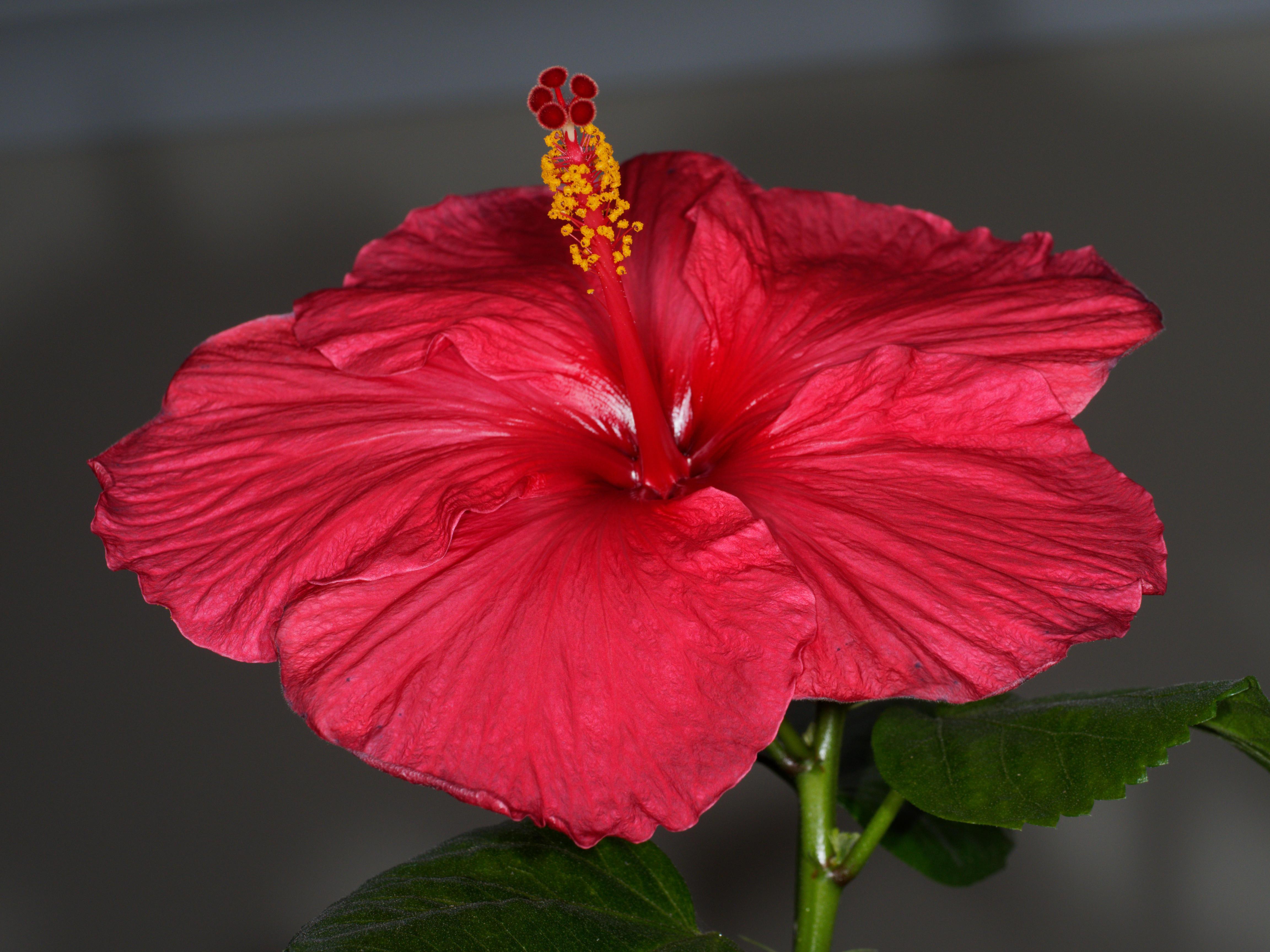 Hibiscus-STF-8-3.jpeg