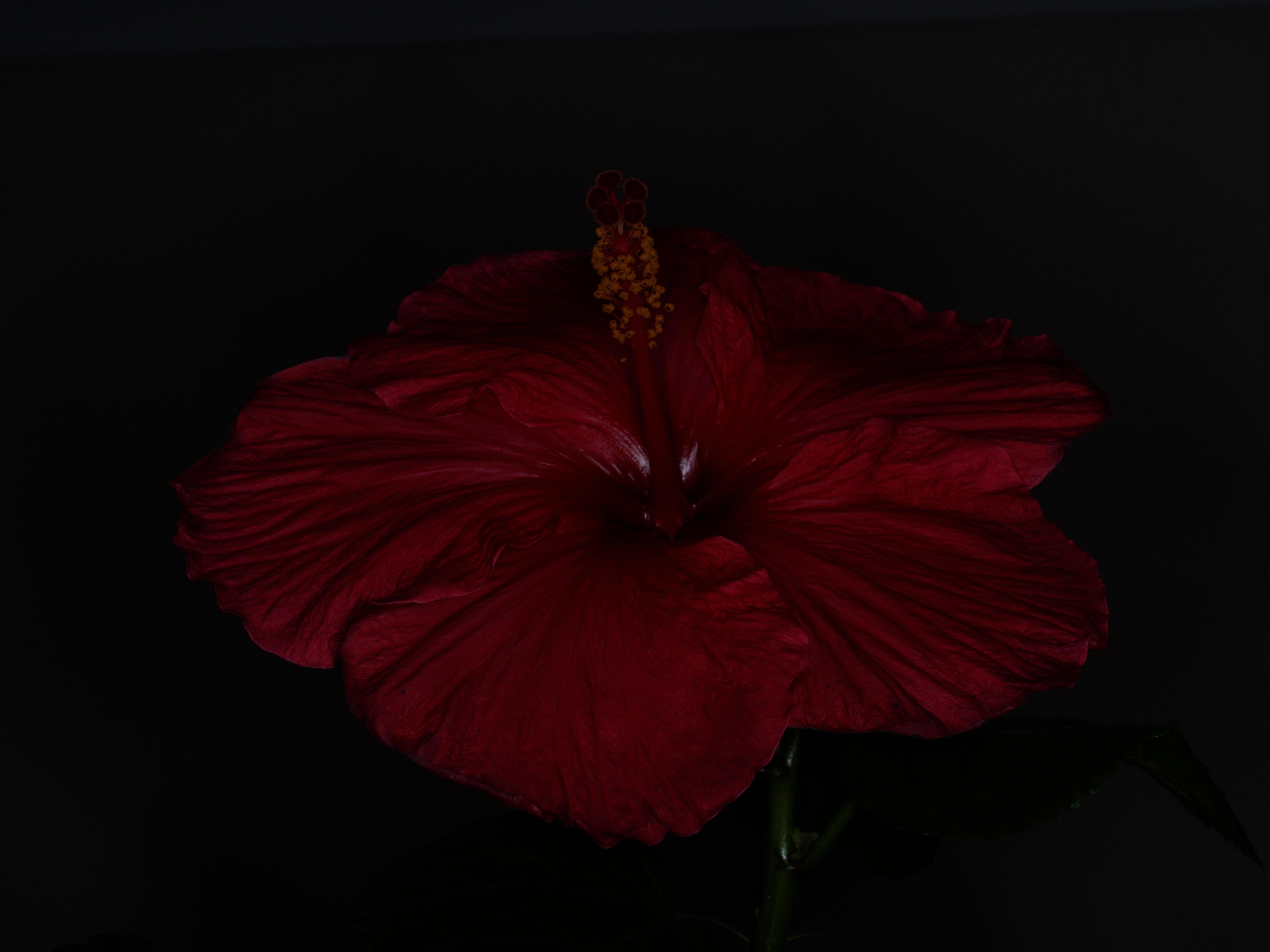 Hibiscus-Viltrox-1.jpeg