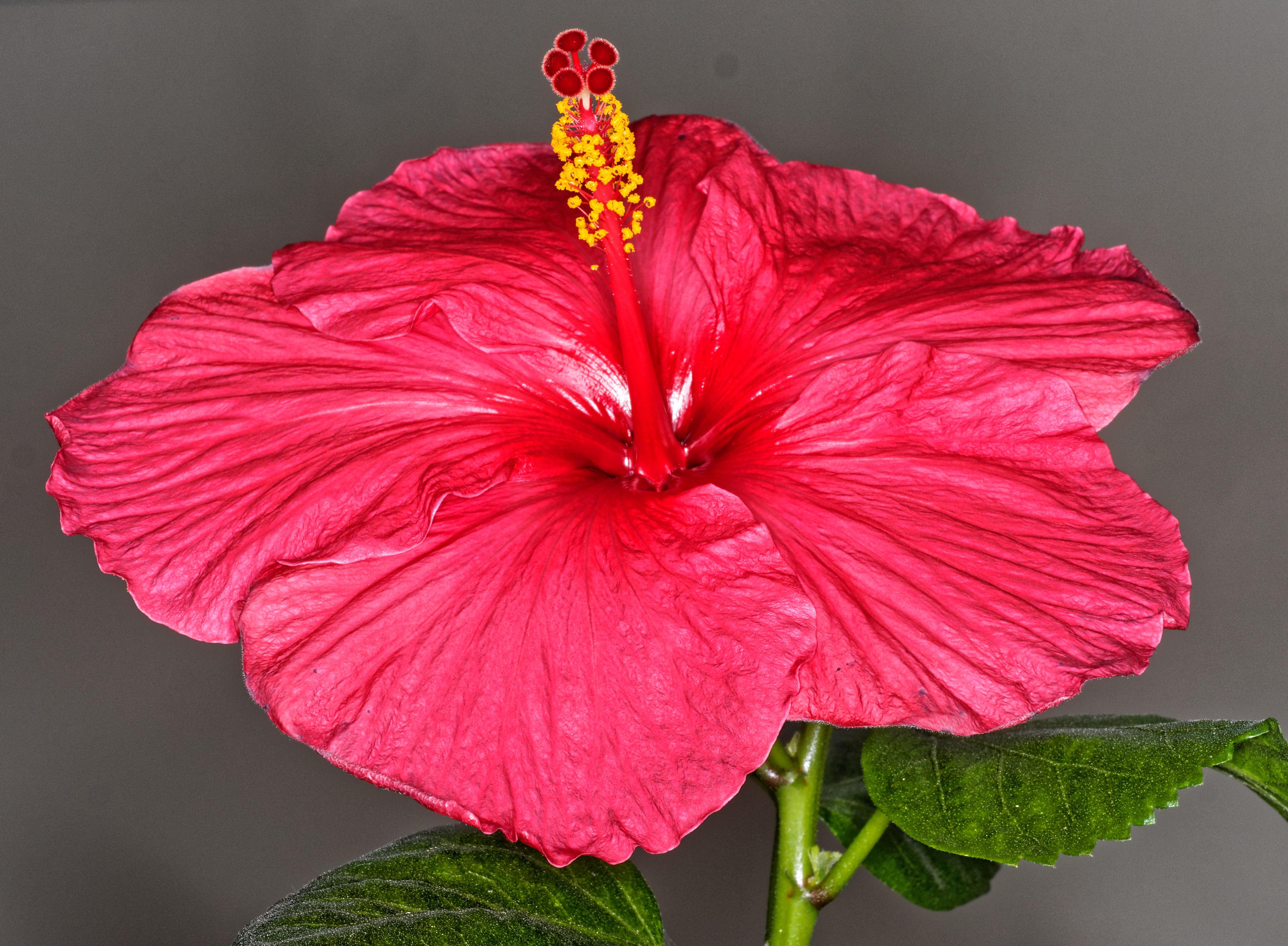 Hibiscus-Viltrox-3.jpeg