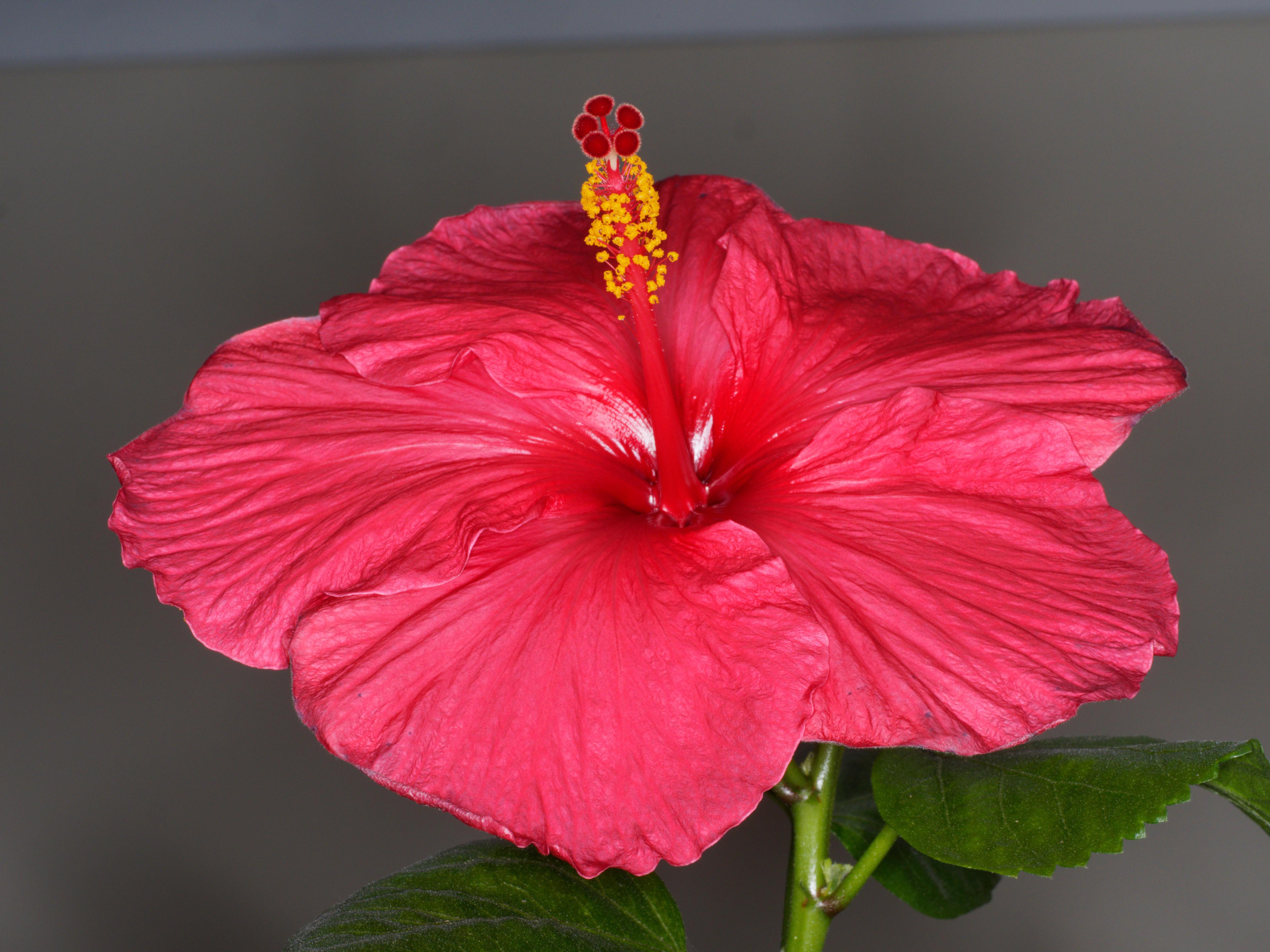 Hibiscus-Viltrox-4.jpeg