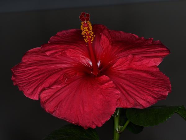 Hibiscus-Viltrox-2.jpeg