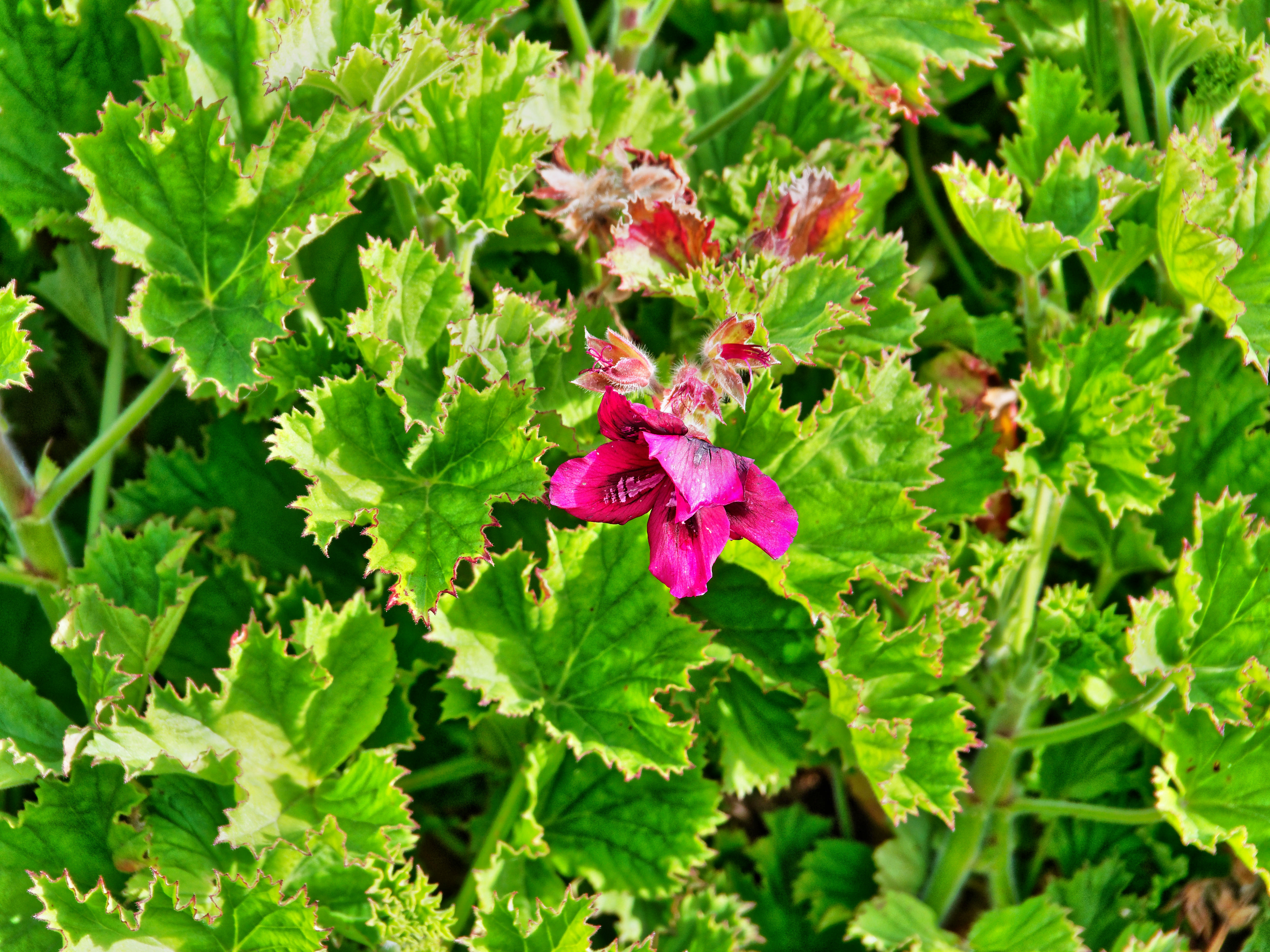 This should be Pelargonium-1.jpeg.  Is it missing?