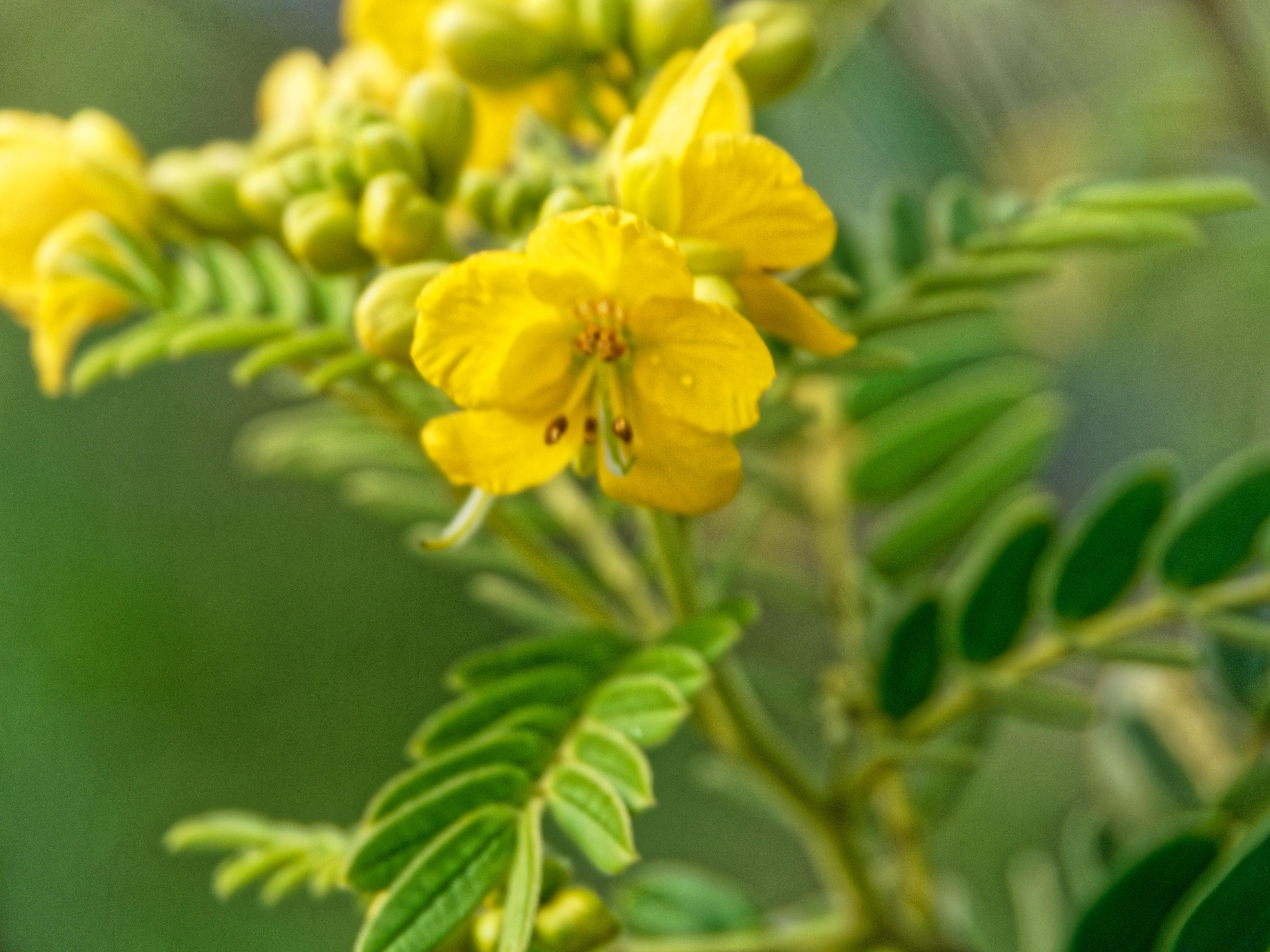 Senna-aciphylla-3.jpeg