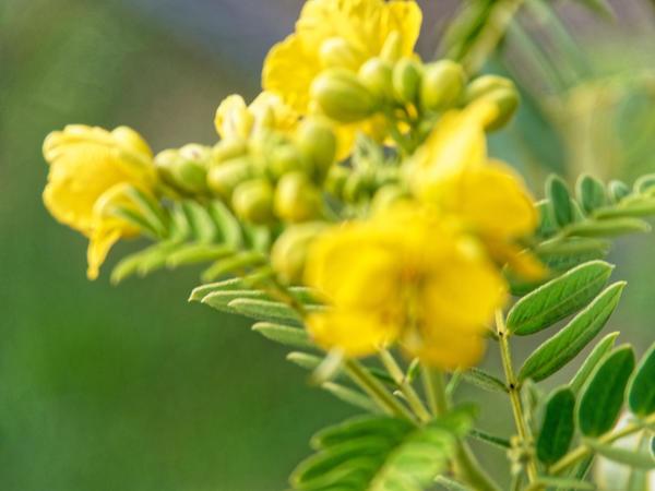 Senna-aciphylla-4.jpeg