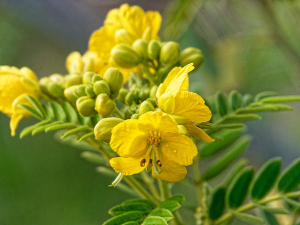 Senna-aciphylla-5.jpeg
