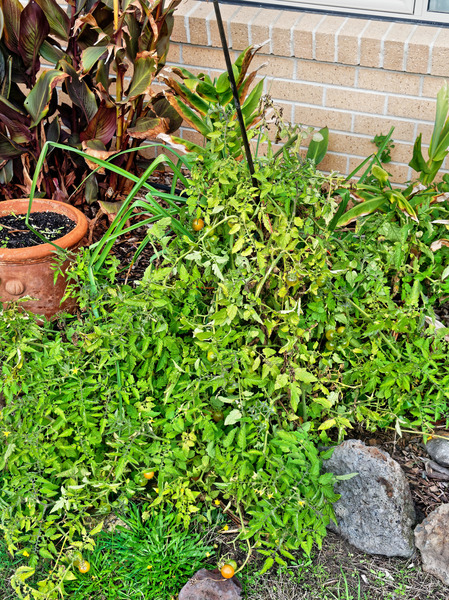 Solanum-lycopersicum-1.jpeg