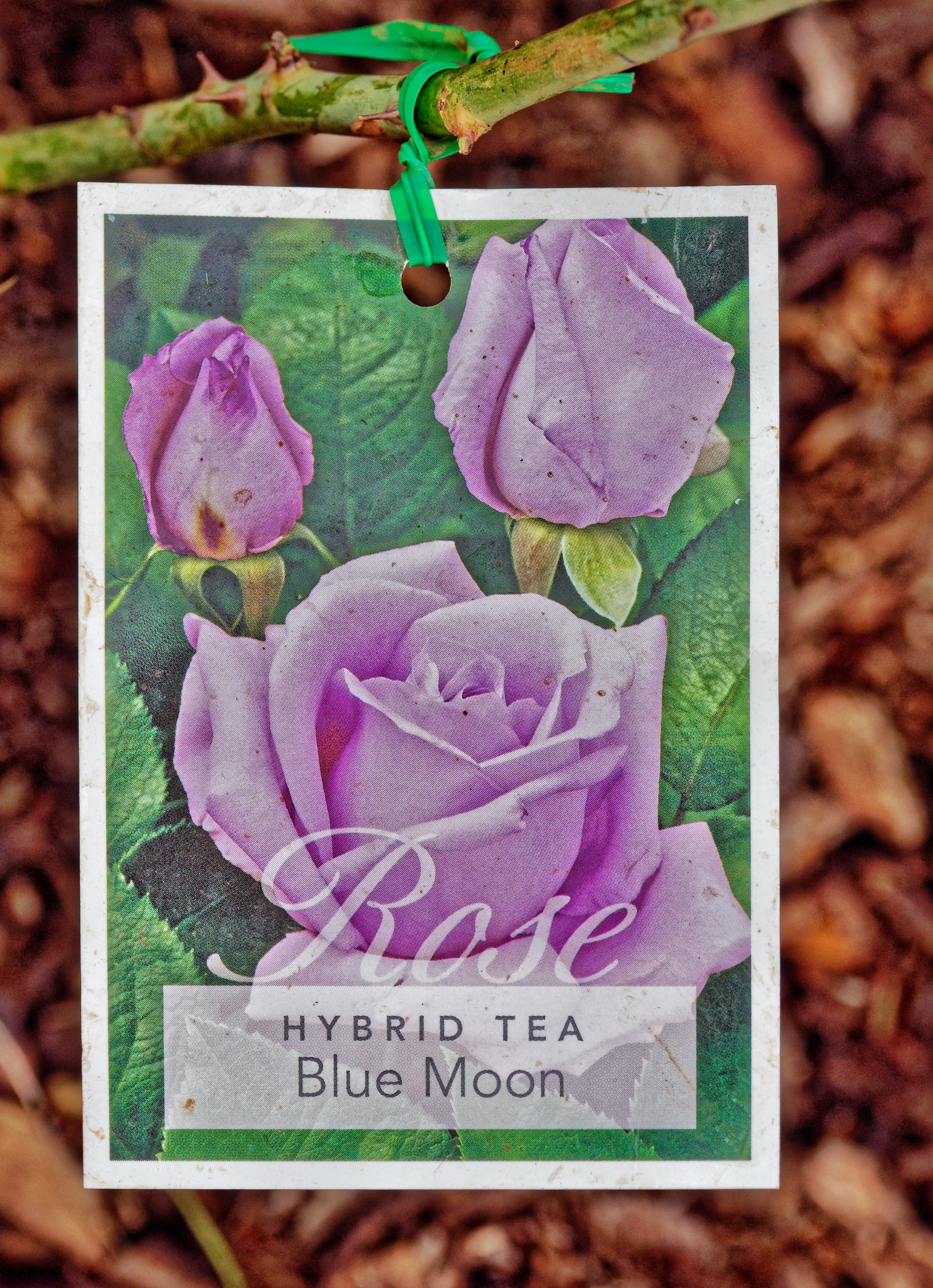 Rose-14.jpeg