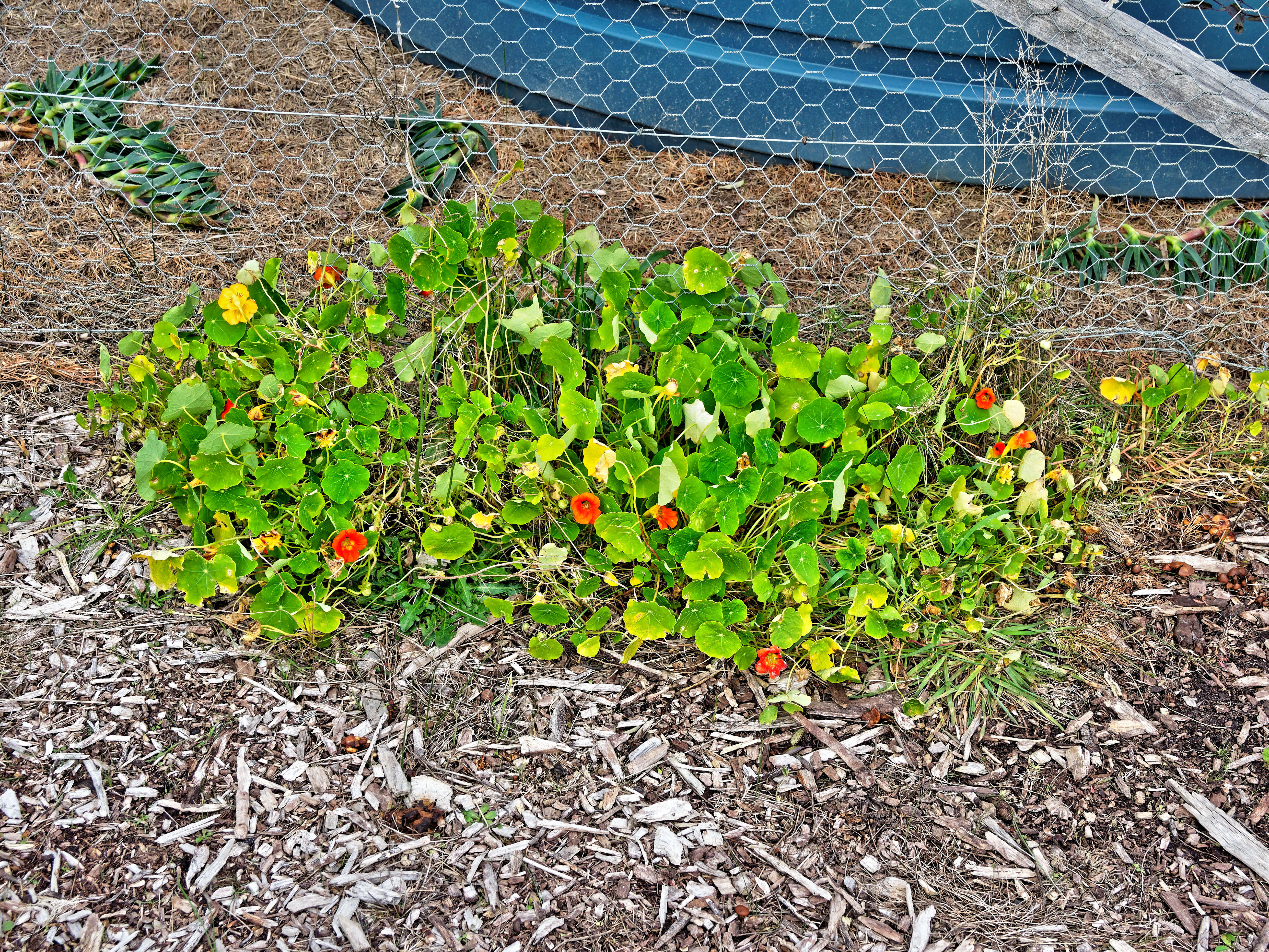 This should be Tropaeolum-4.jpeg.  Is it missing?