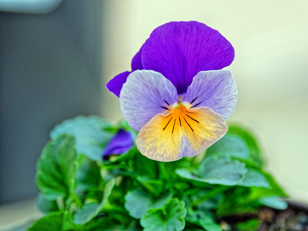 Violet-4.jpeg