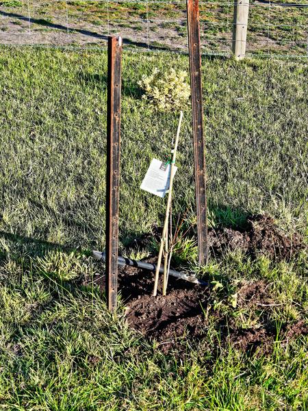 Quercus-rubra.jpeg
