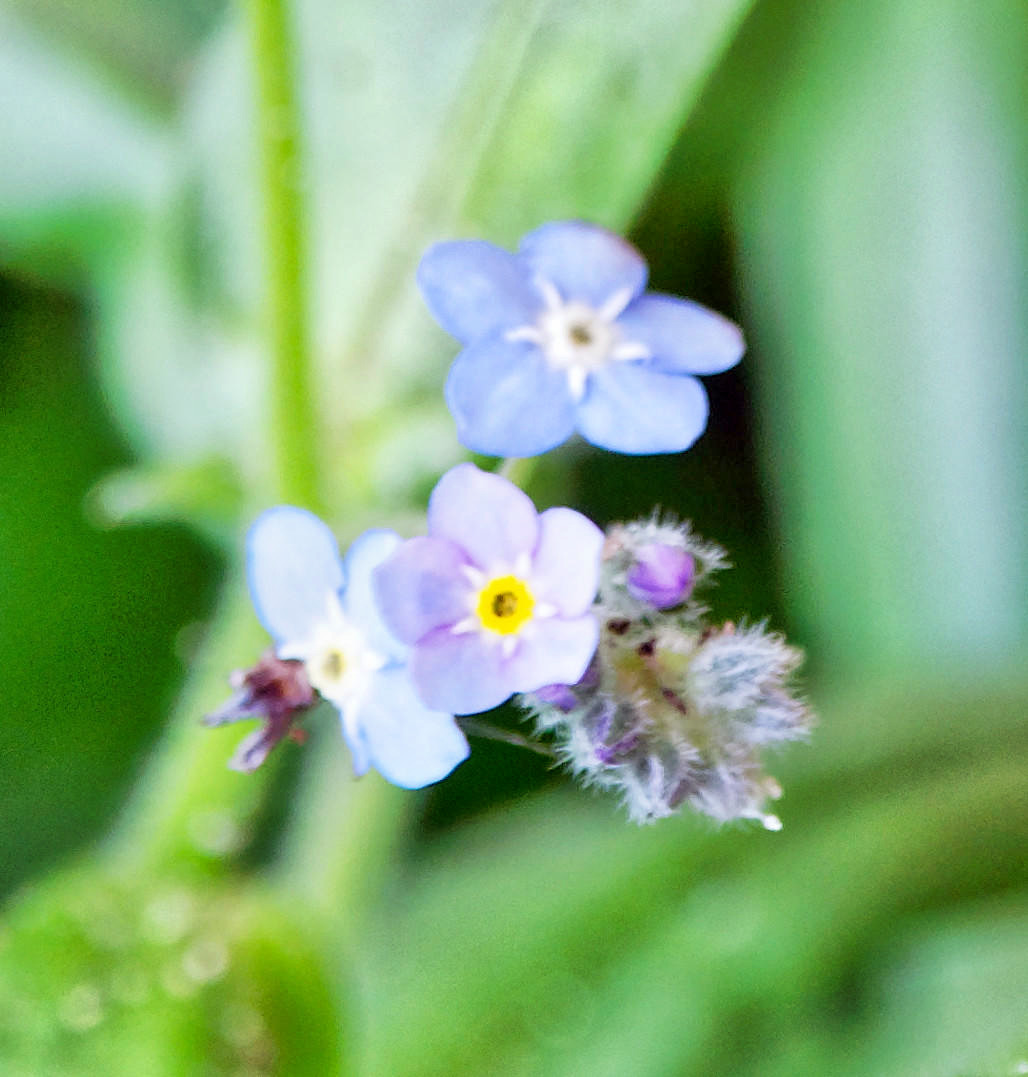 Forget-me-not-1-detail.jpeg