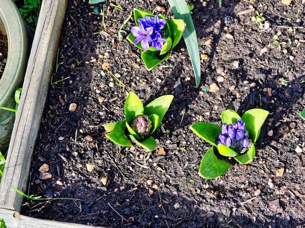 Hyacinth-1.jpeg