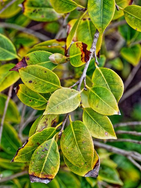 Camellia-japonica-2.jpeg