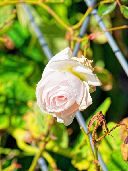 Rose-4.jpeg