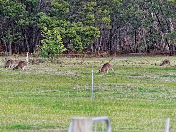 Kangaroos-8.jpeg