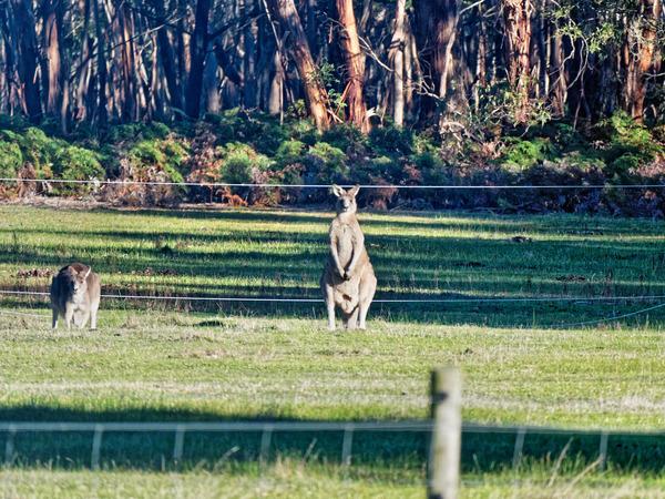 Kangaroos-3.jpeg