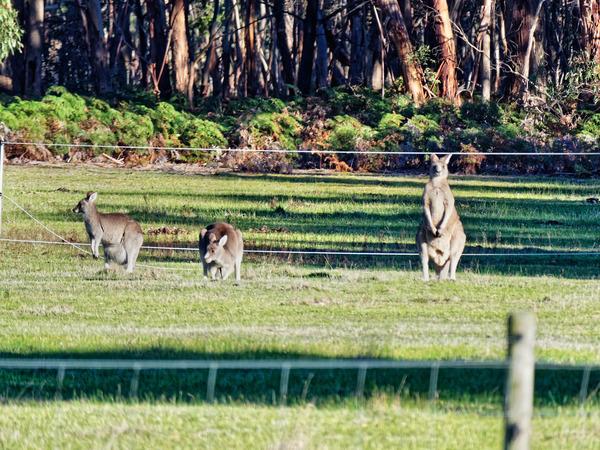 Kangaroos-7.jpeg