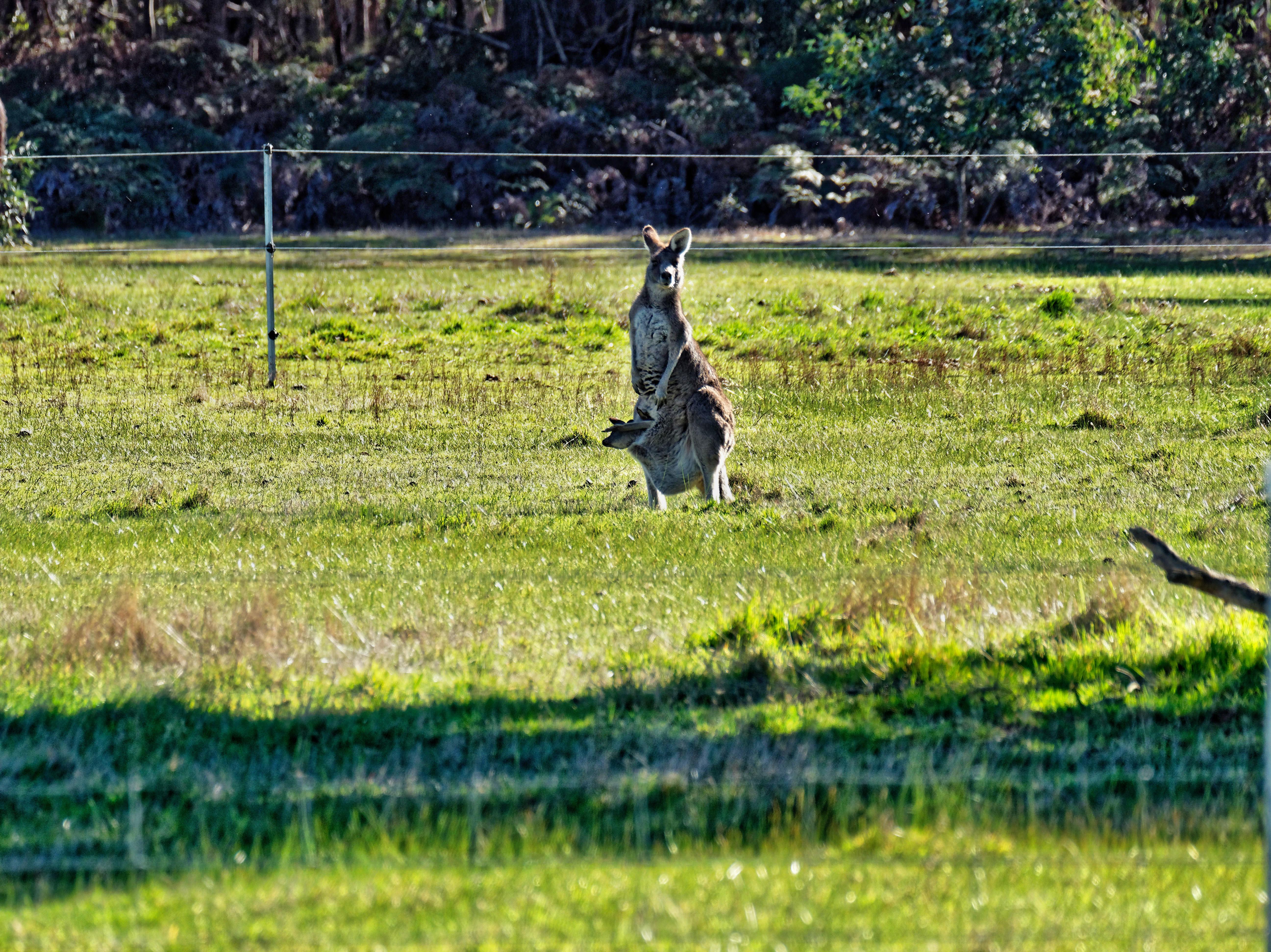 Kangaroos-10.jpeg