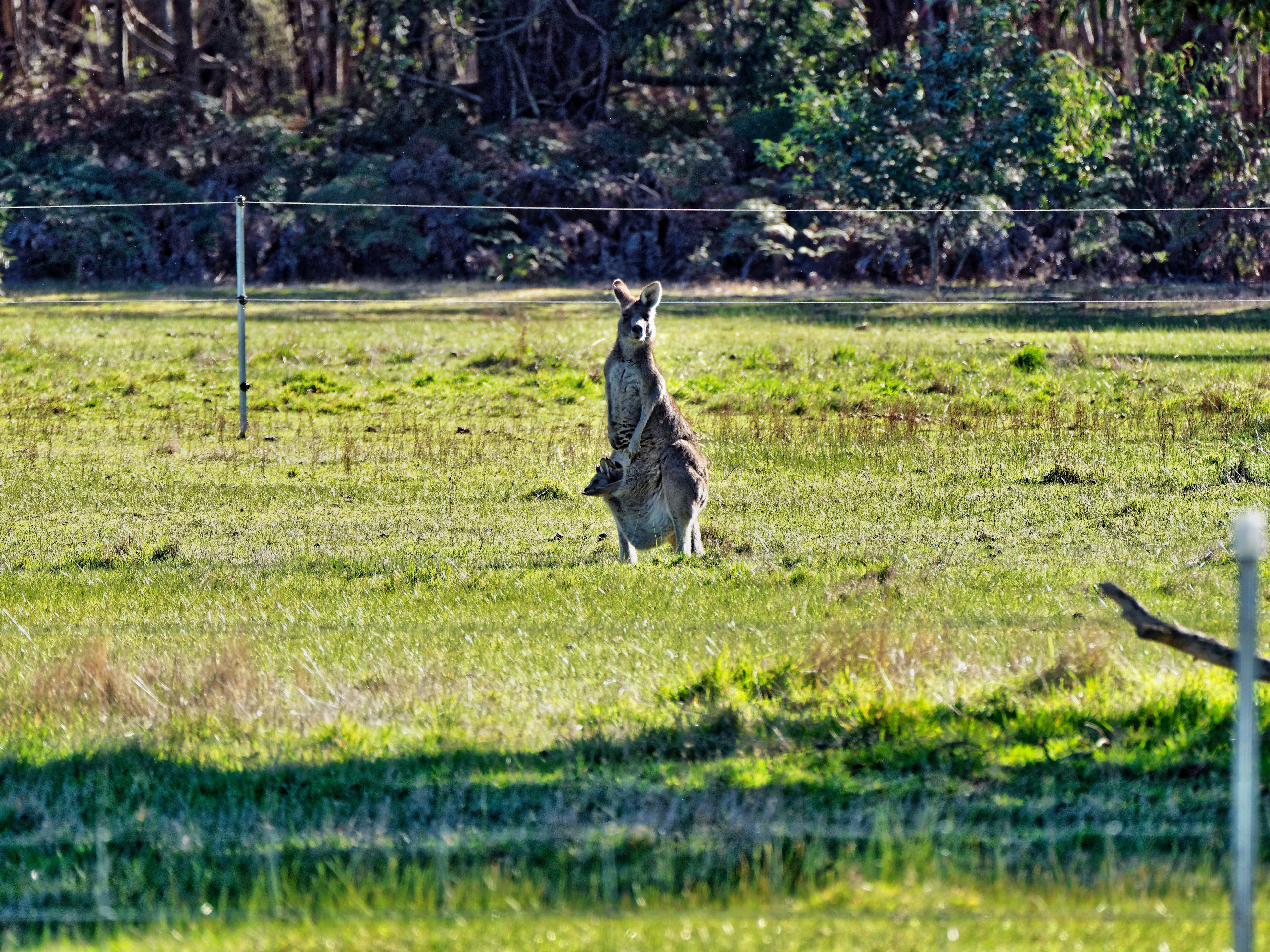 Kangaroos-17.jpeg