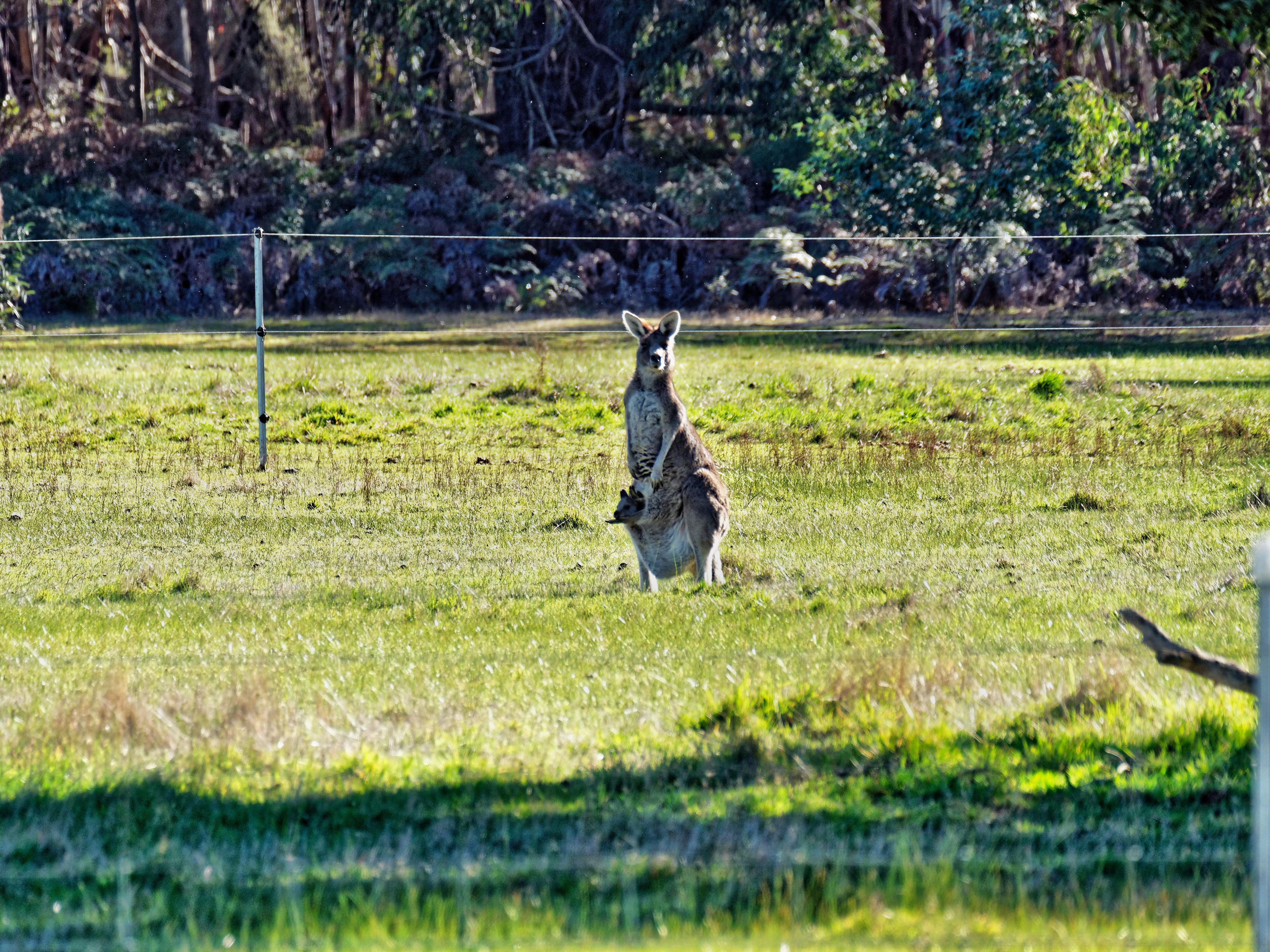 Kangaroos-20.jpeg