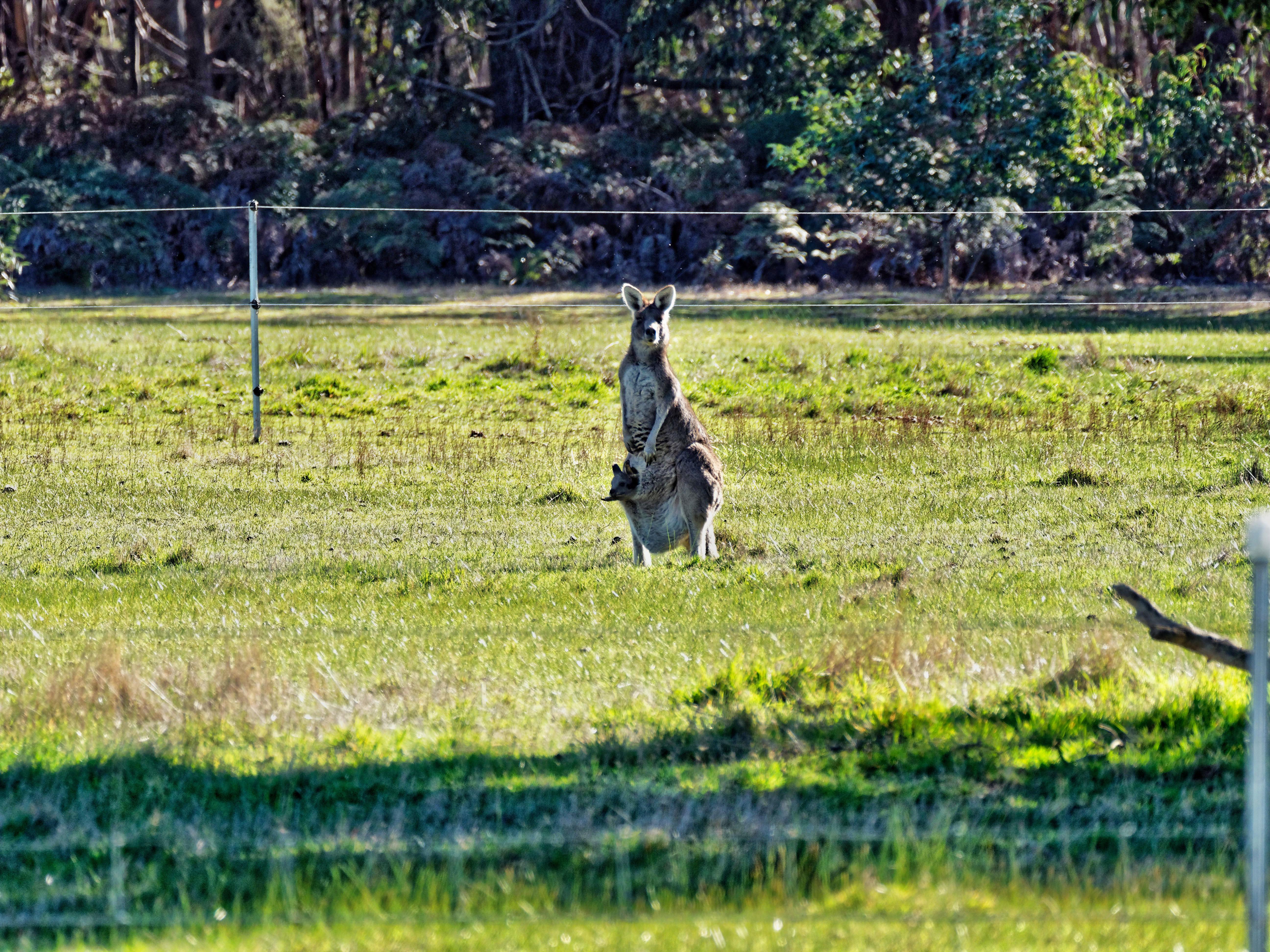Kangaroos-21.jpeg