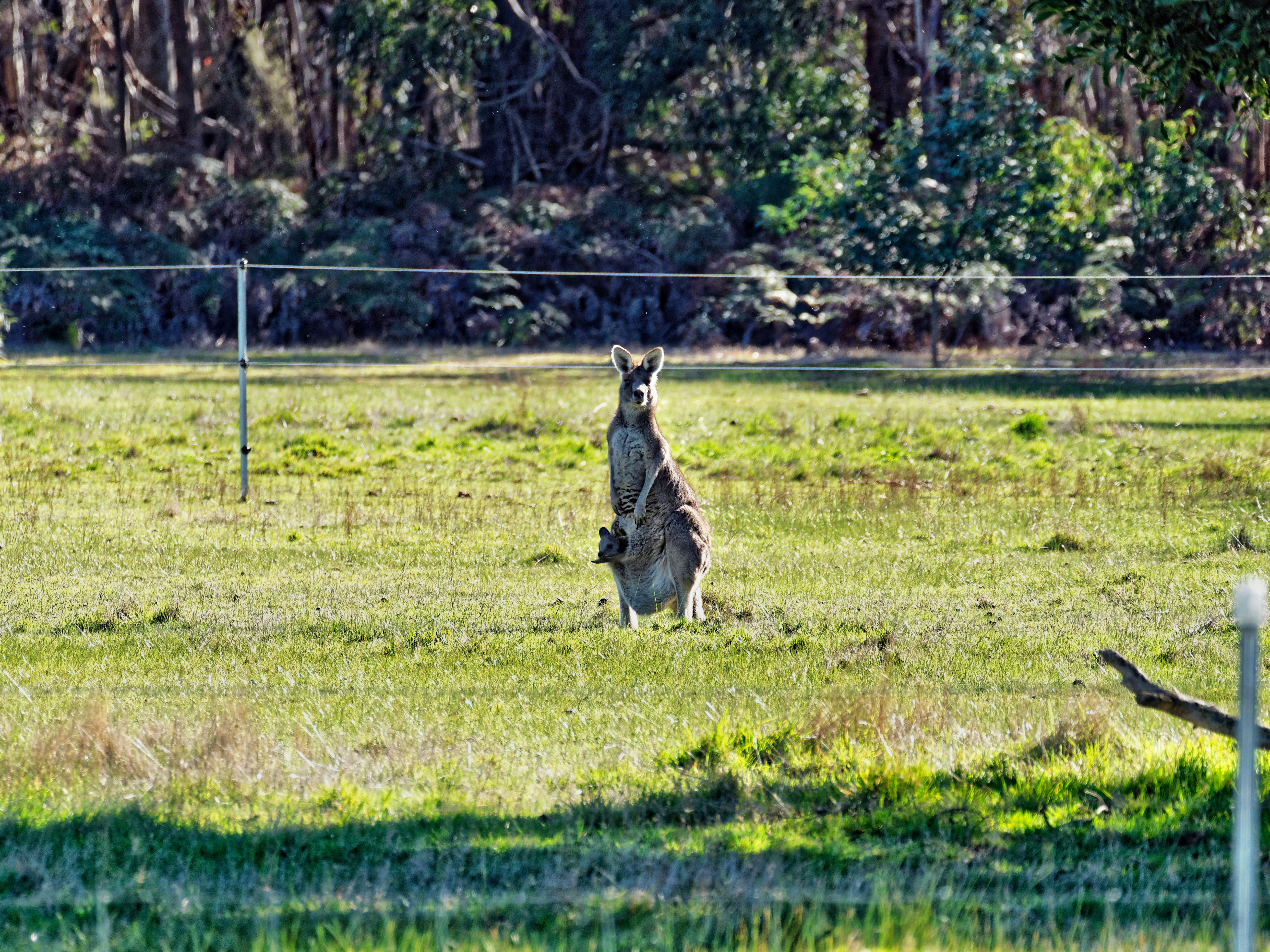 Kangaroos-26.jpeg