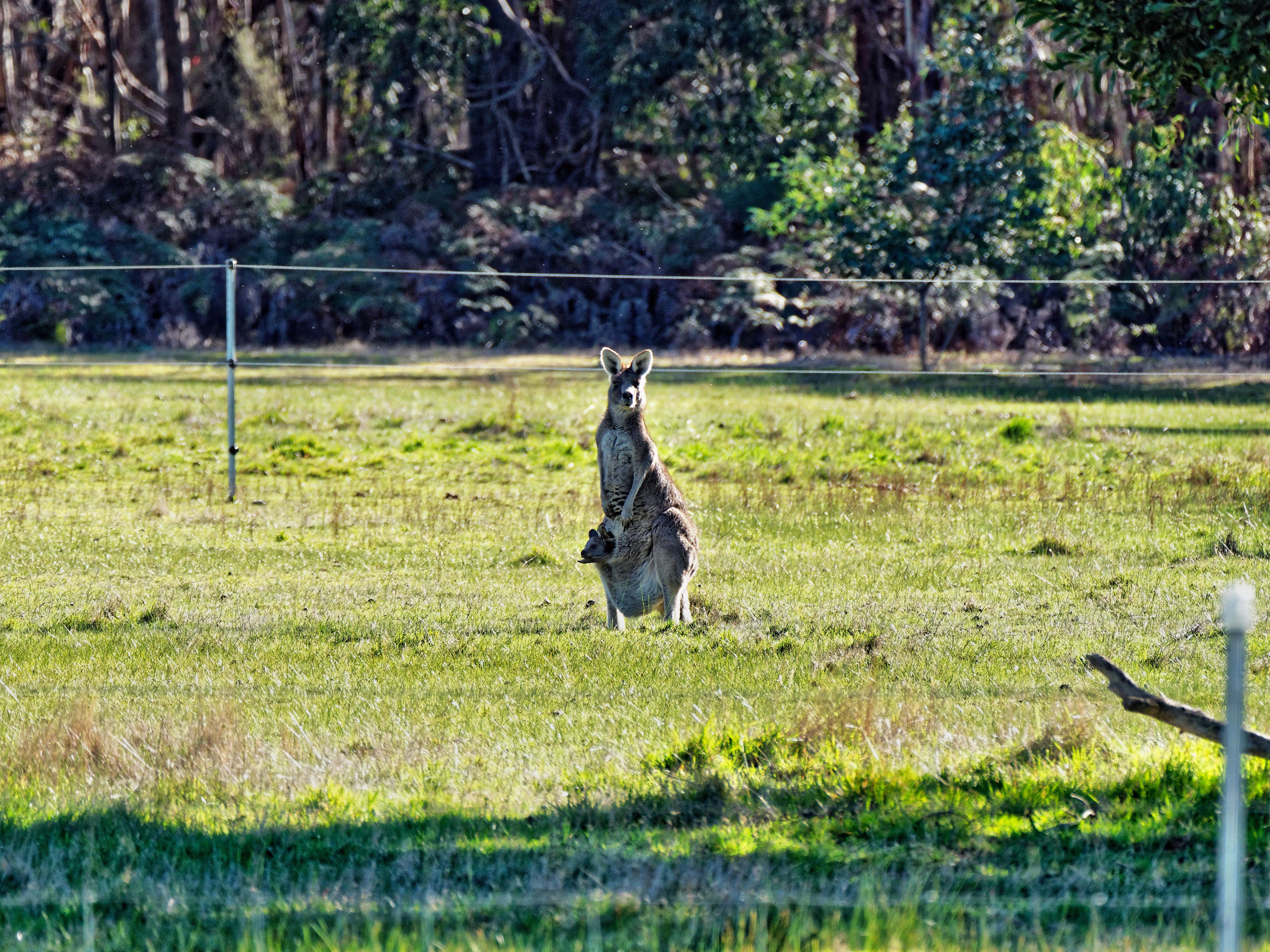 Kangaroos-27.jpeg