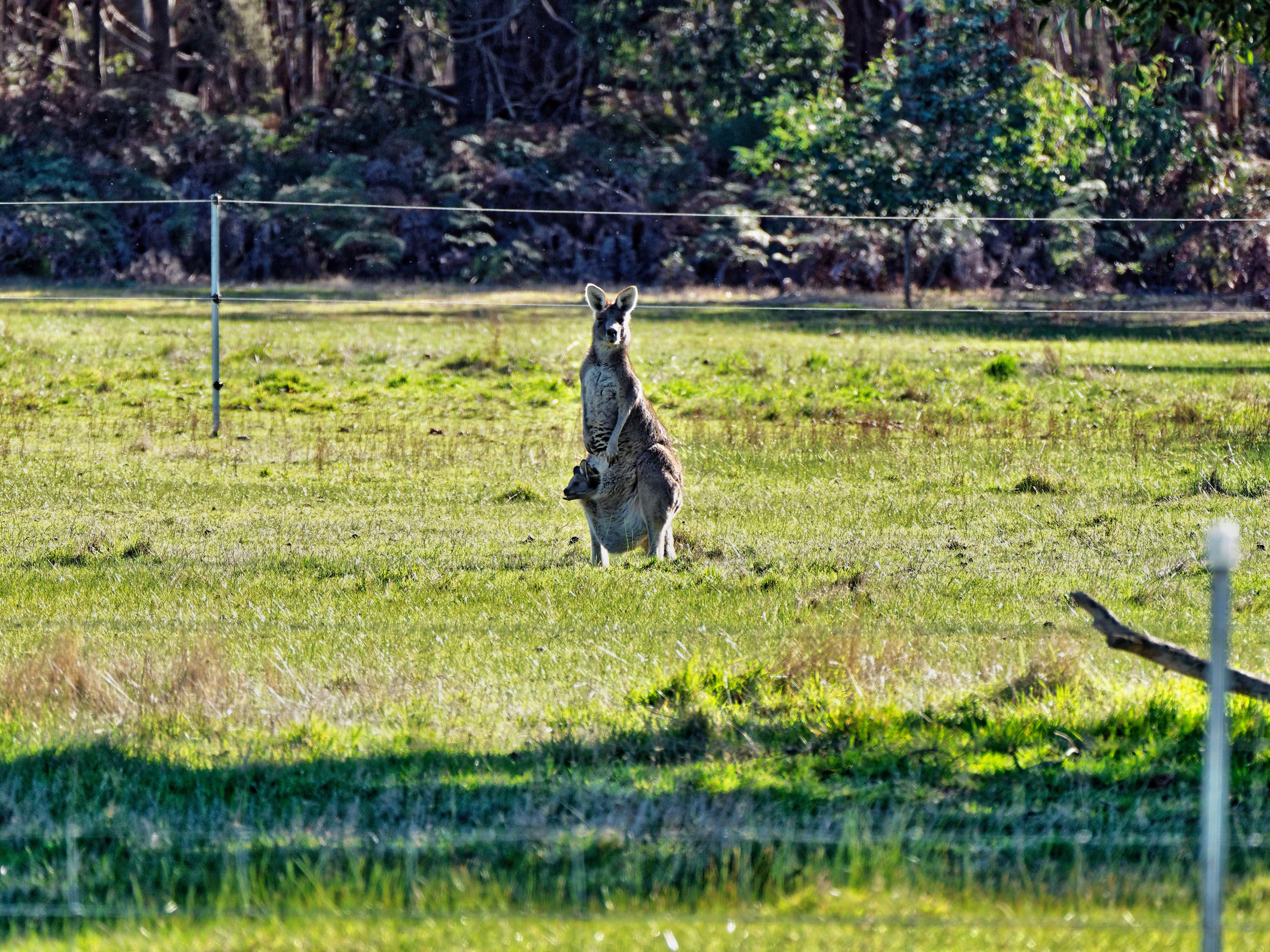 Kangaroos-28.jpeg