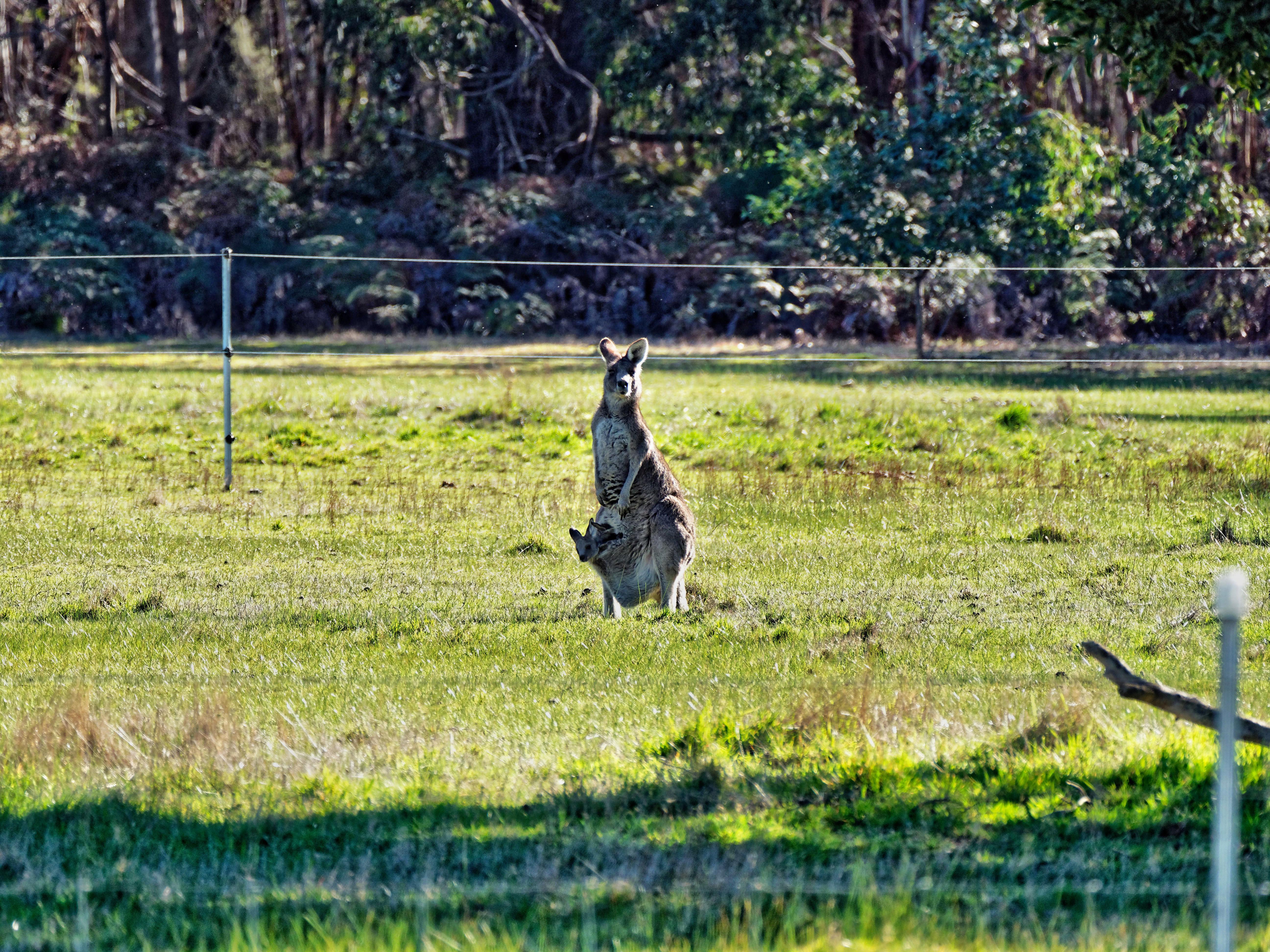 Kangaroos-33.jpeg
