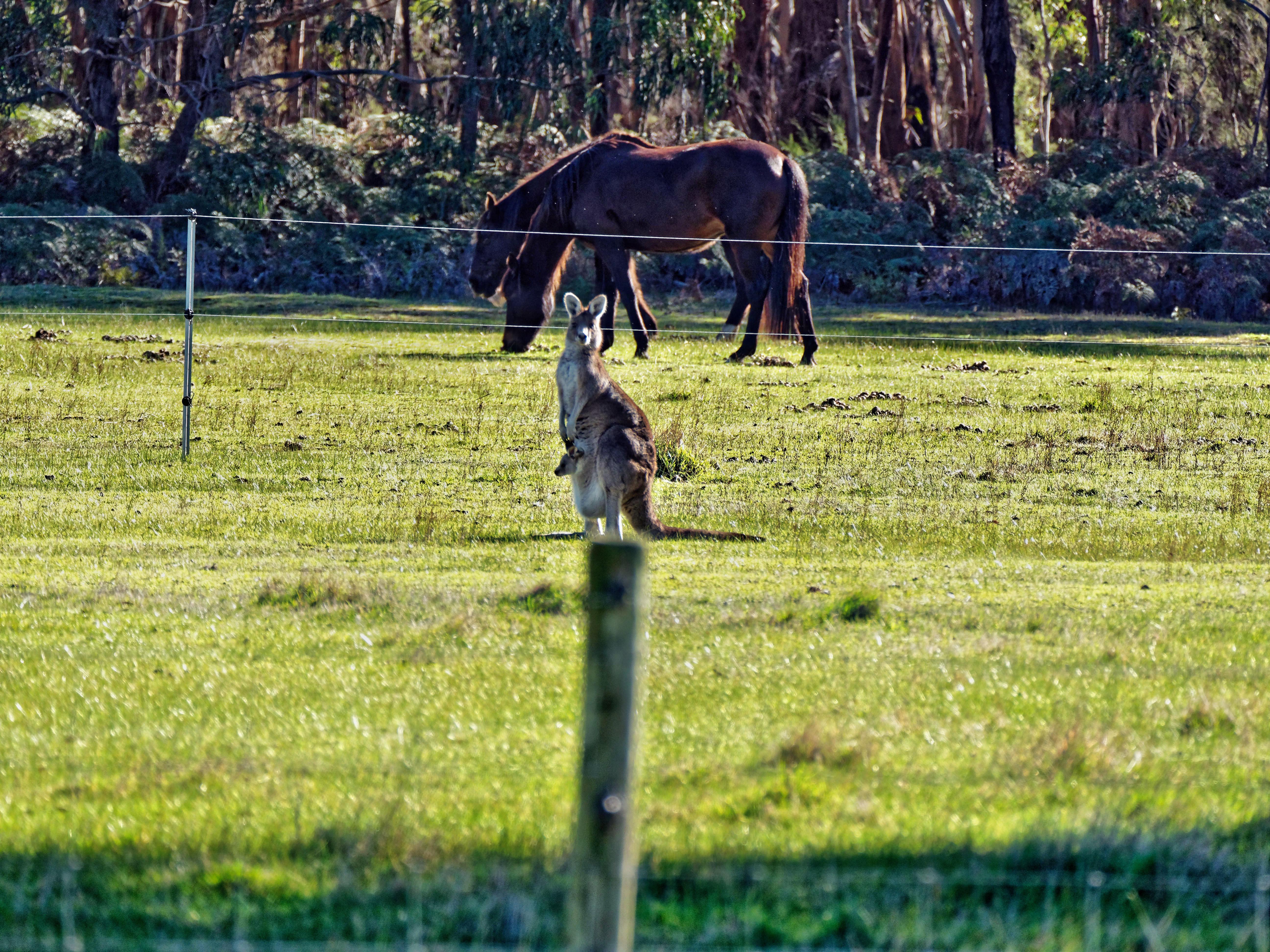 Kangaroos-38.jpeg
