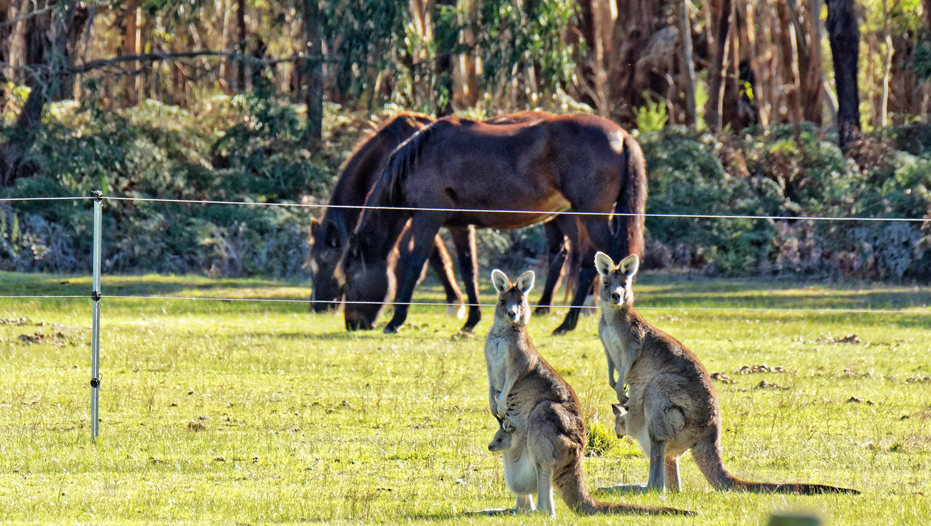 Kangaroos-47-1080p.jpeg
