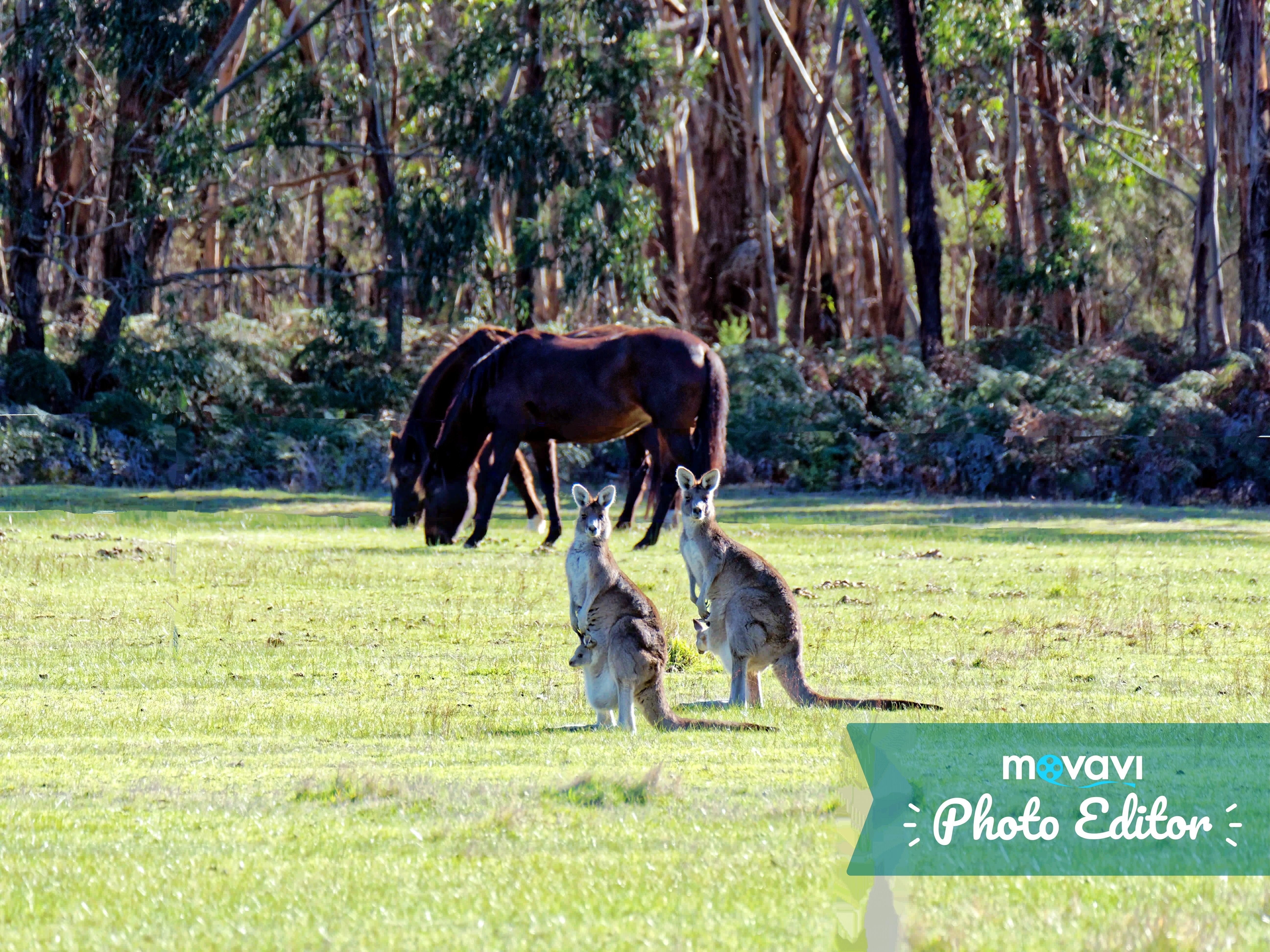 Kangaroos-47-movavi.jpeg