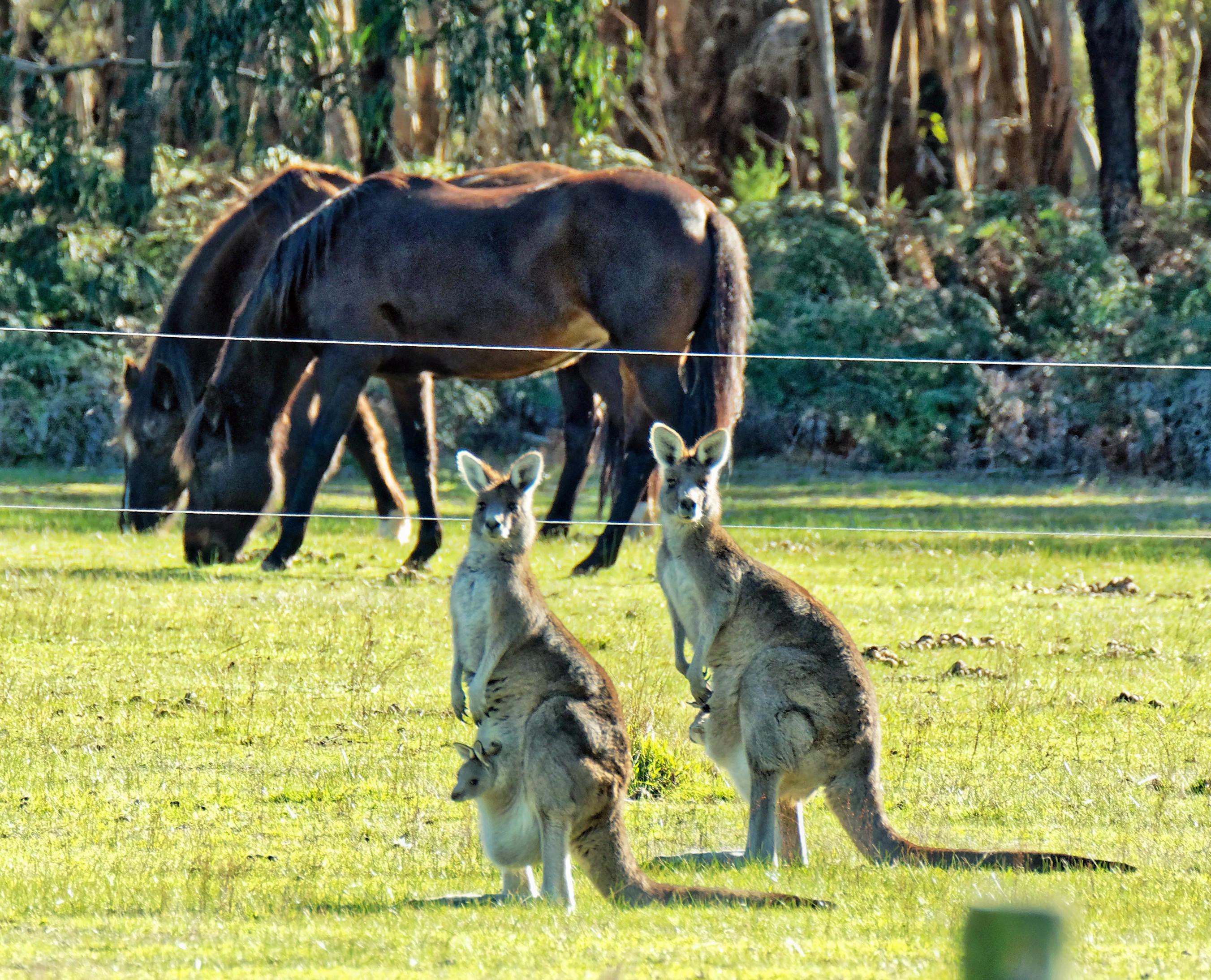 Kangaroos-48.jpeg