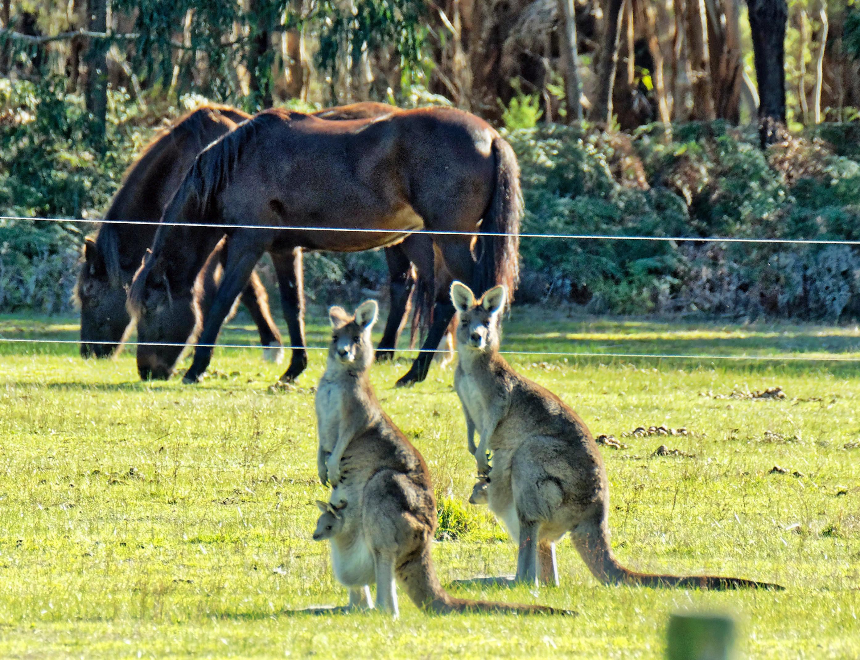 Kangaroos-50.jpeg